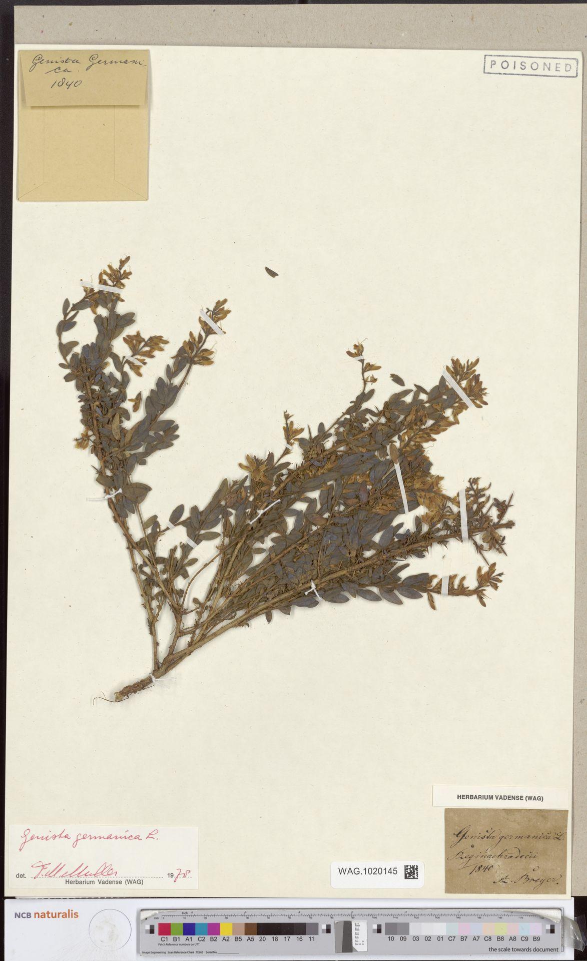 WAG.1020145 | Genista germanica L.