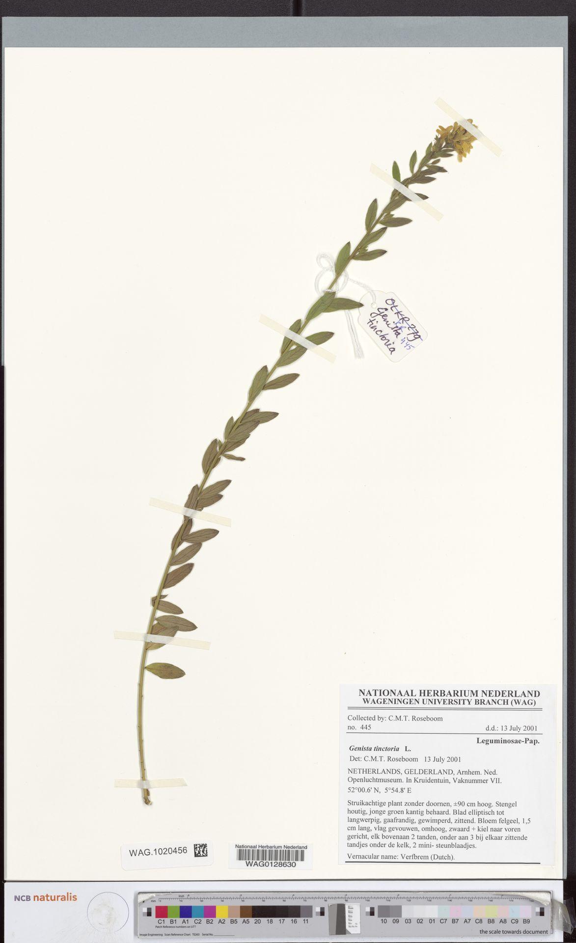 WAG.1020456 | Genista tinctoria L.