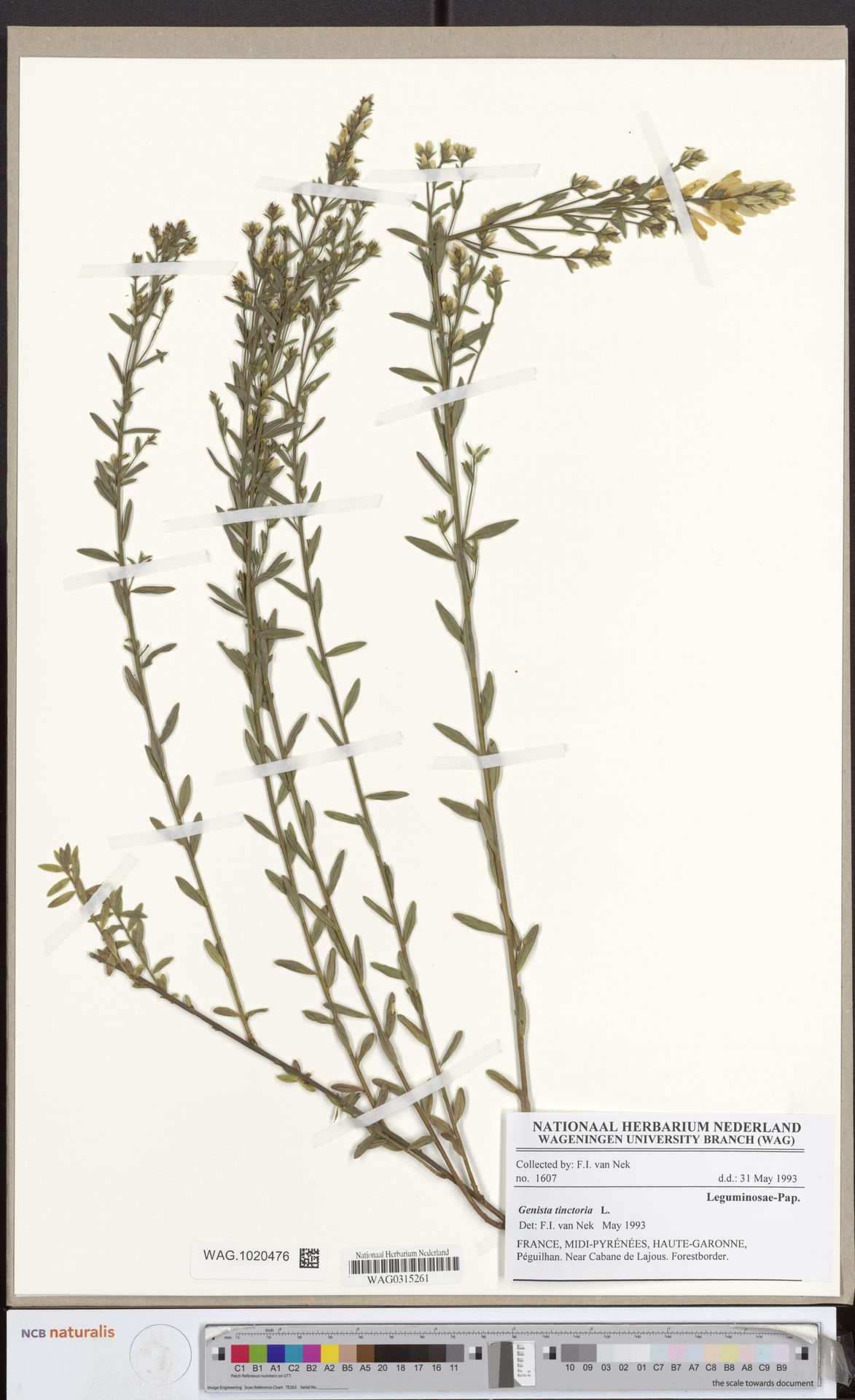 WAG.1020476 | Genista tinctoria L.