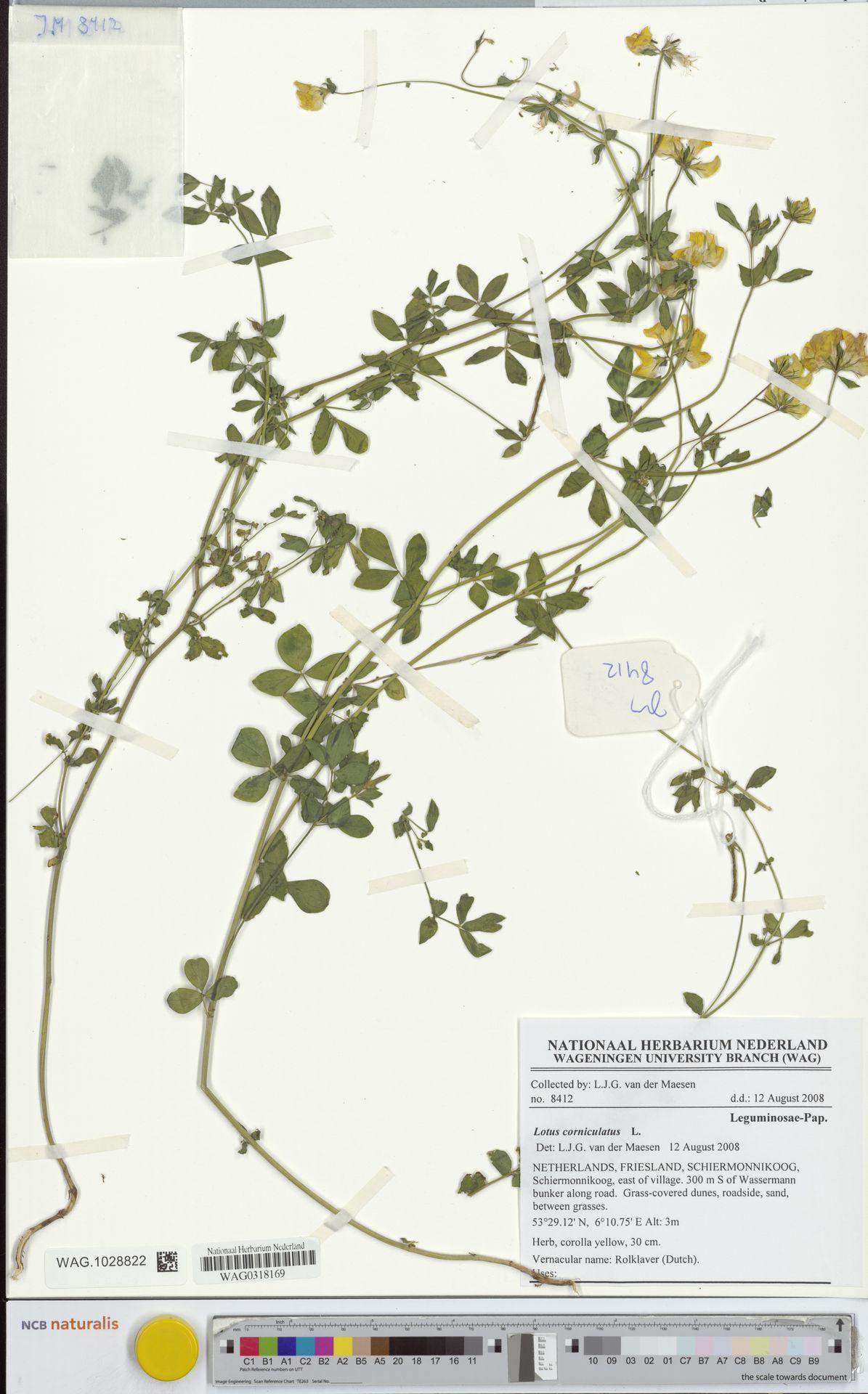 WAG.1028822 | Lotus corniculatus L.