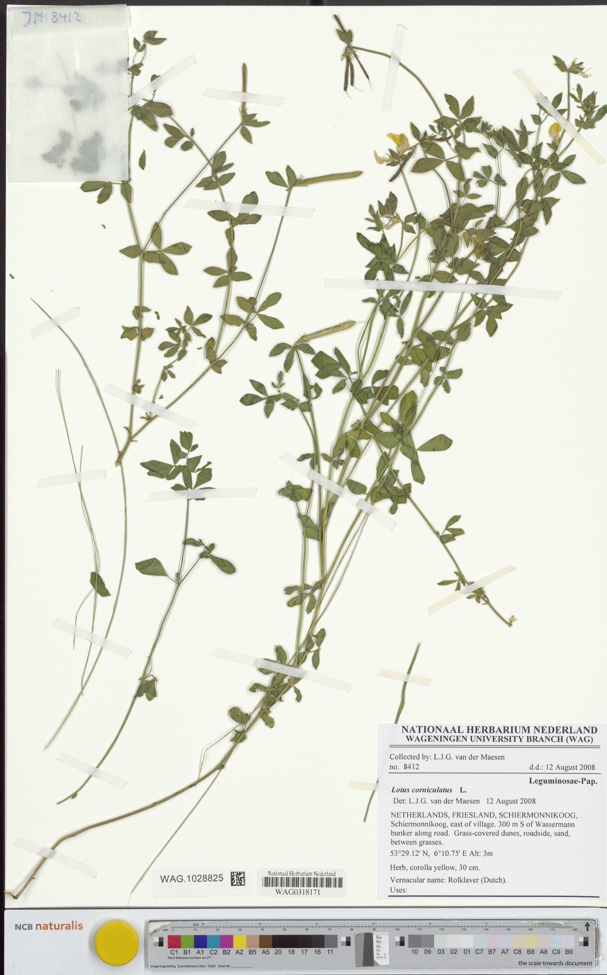 WAG.1028825 | Lotus corniculatus L.