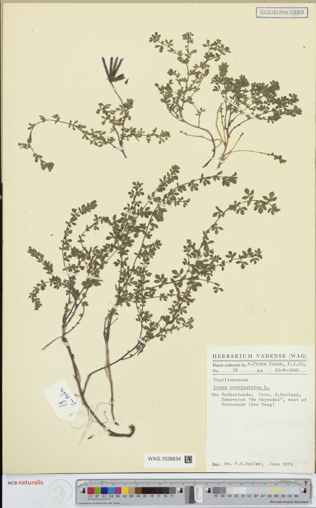 WAG.1028834 | Lotus corniculatus L.