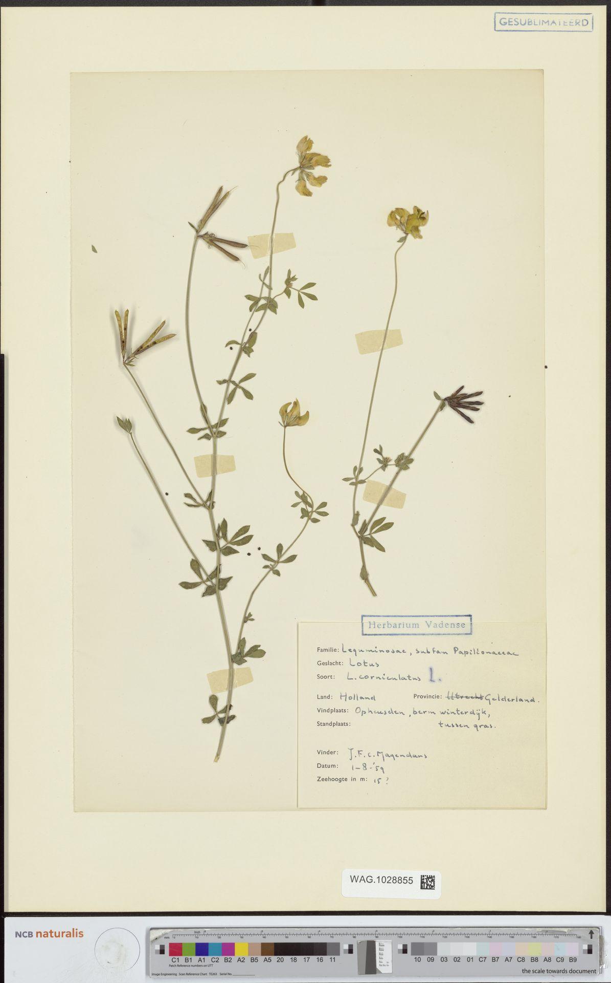 WAG.1028855 | Lotus corniculatus L.