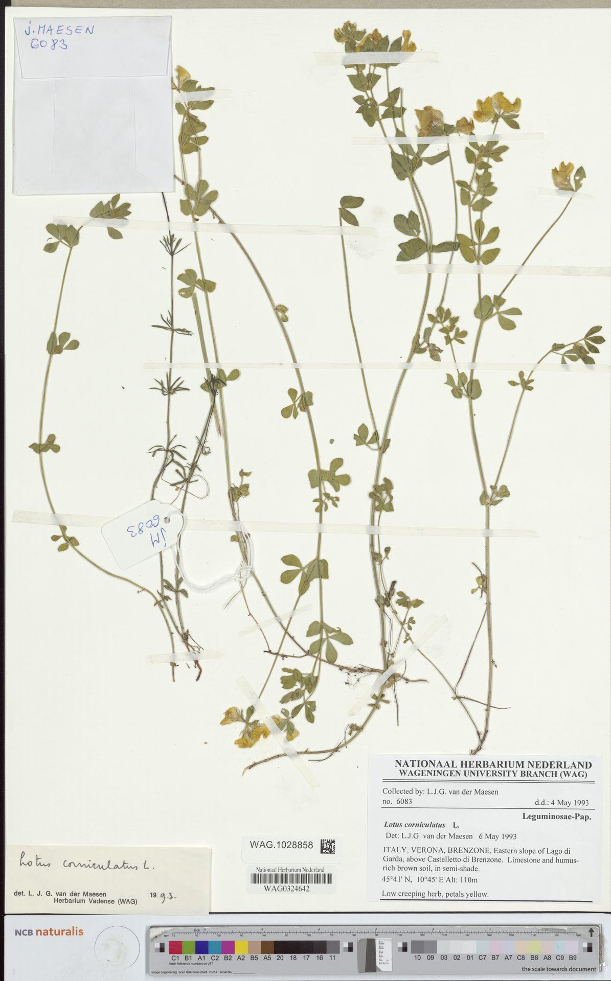 WAG.1028858 | Lotus corniculatus L.