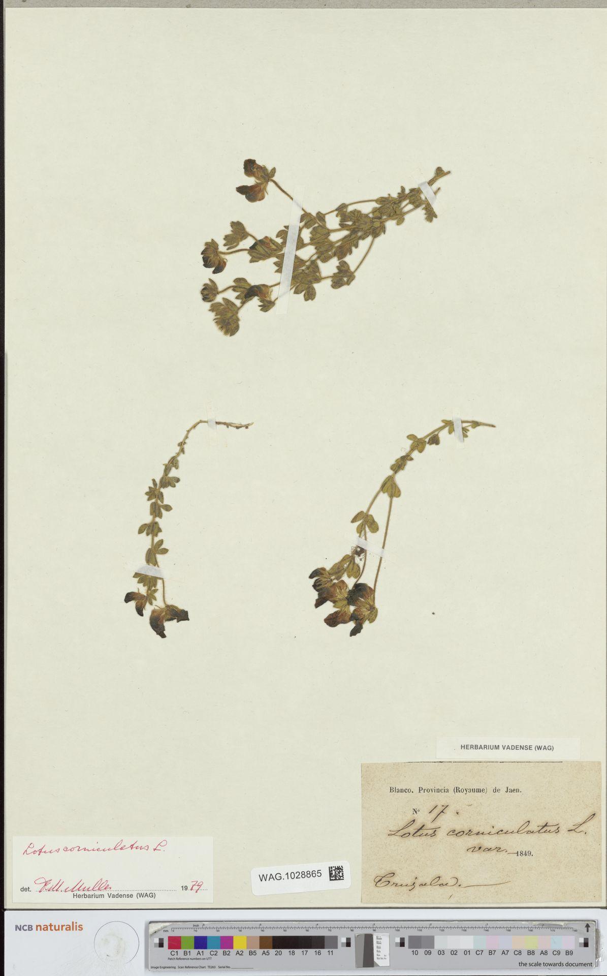 WAG.1028865 | Lotus corniculatus L.