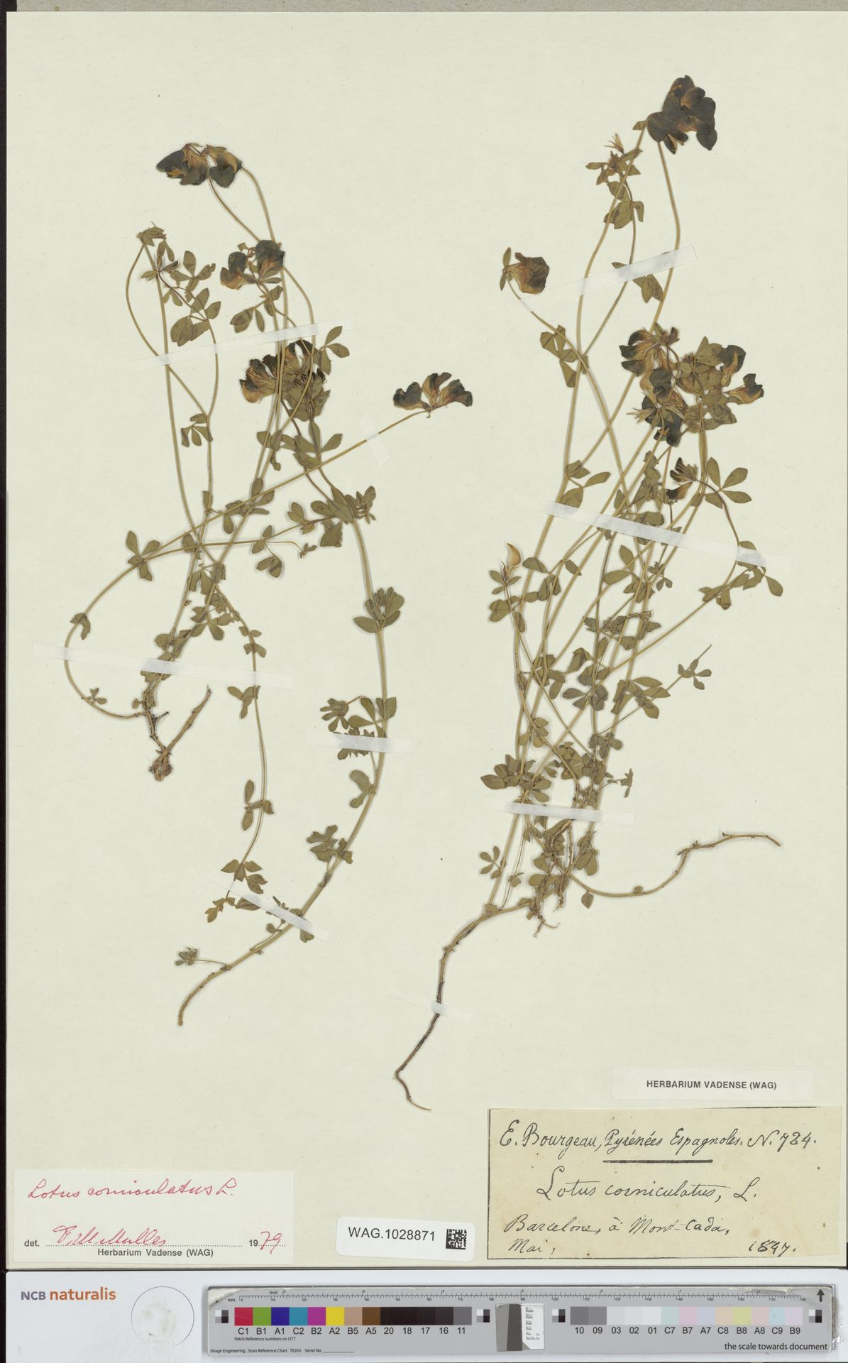 WAG.1028871 | Lotus corniculatus L.