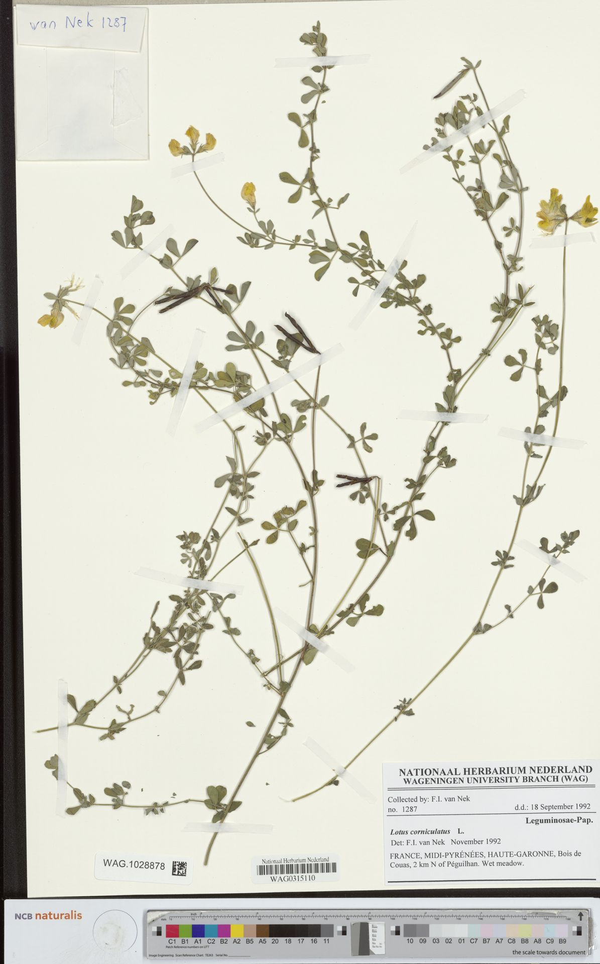 WAG.1028878 | Lotus corniculatus L.