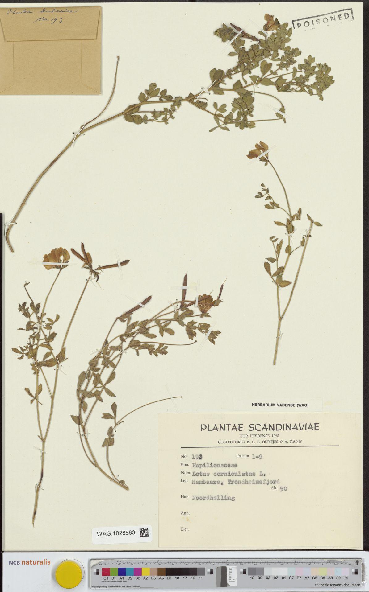WAG.1028883 | Lotus corniculatus L.