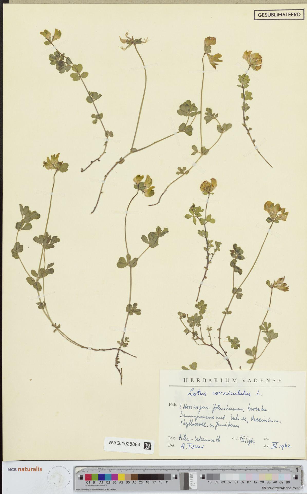 WAG.1028884 | Lotus corniculatus L.