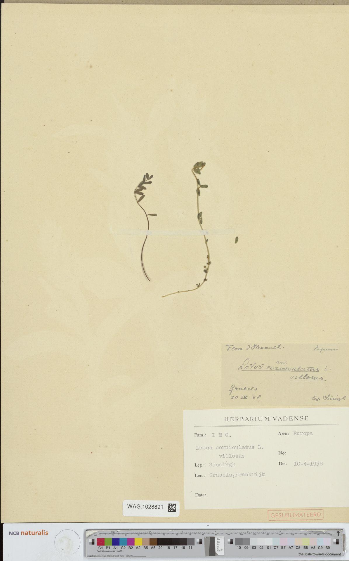 WAG.1028891 | Lotus corniculatus L.