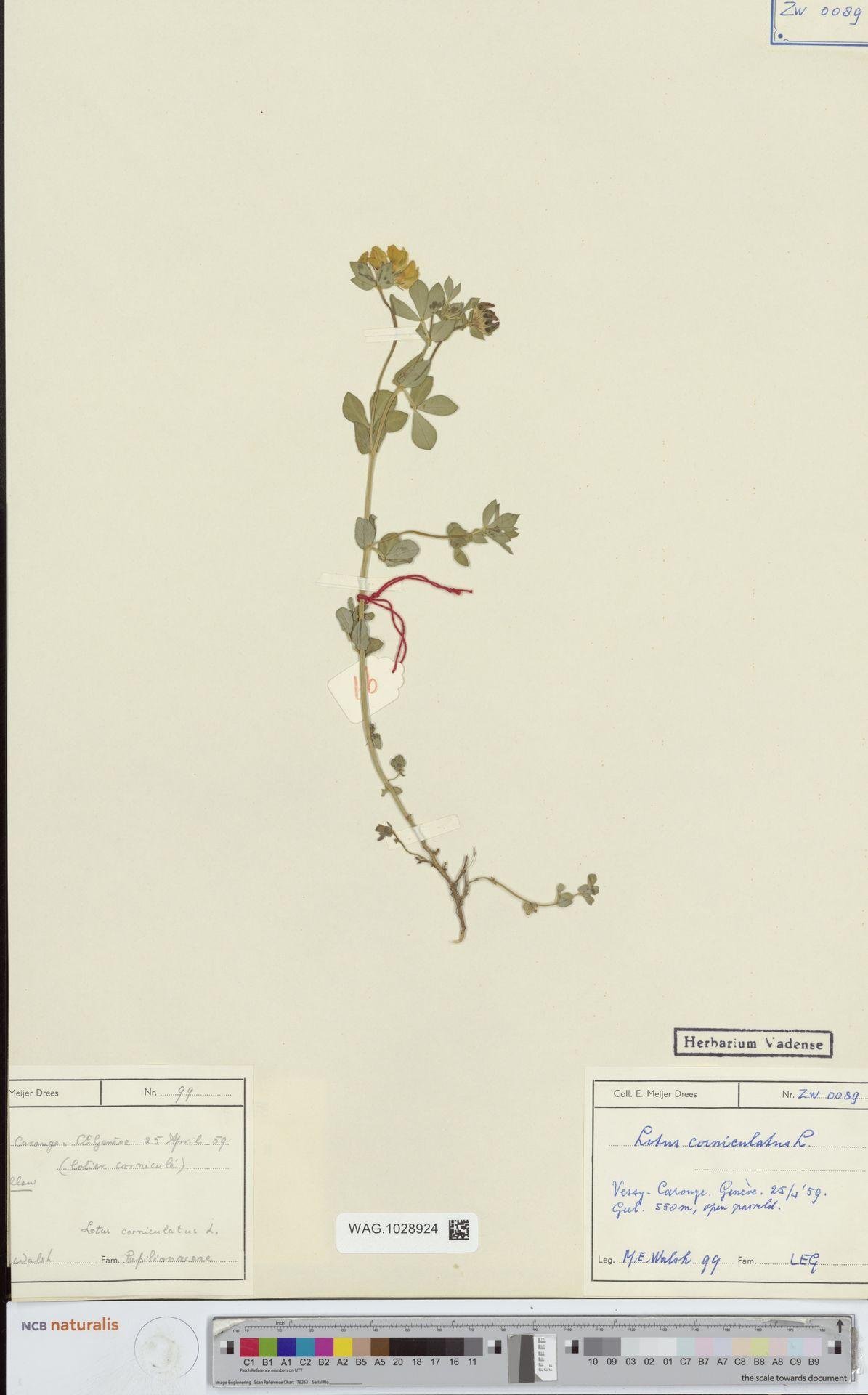 WAG.1028924 | Lotus corniculatus L.