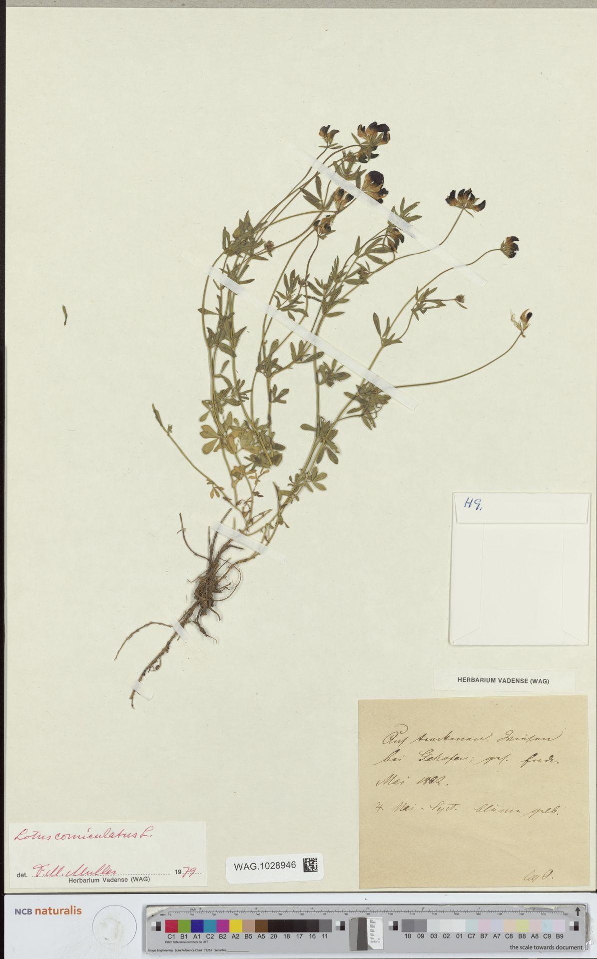 WAG.1028946 | Lotus corniculatus L.