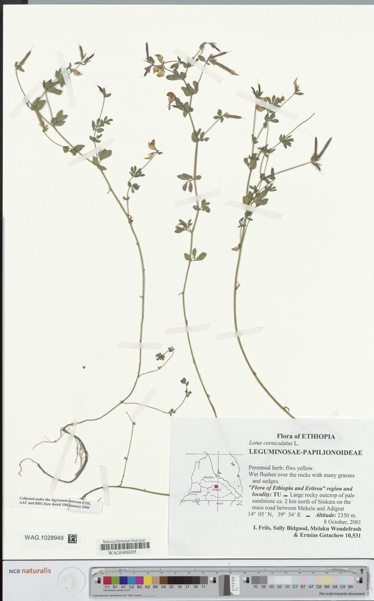 WAG.1028949 | Lotus corniculatus L.