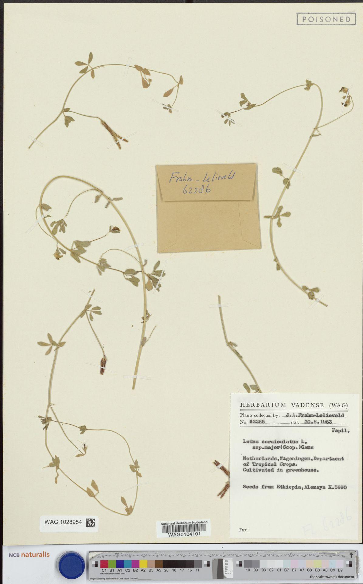 WAG.1028954 | Lotus corniculatus L.