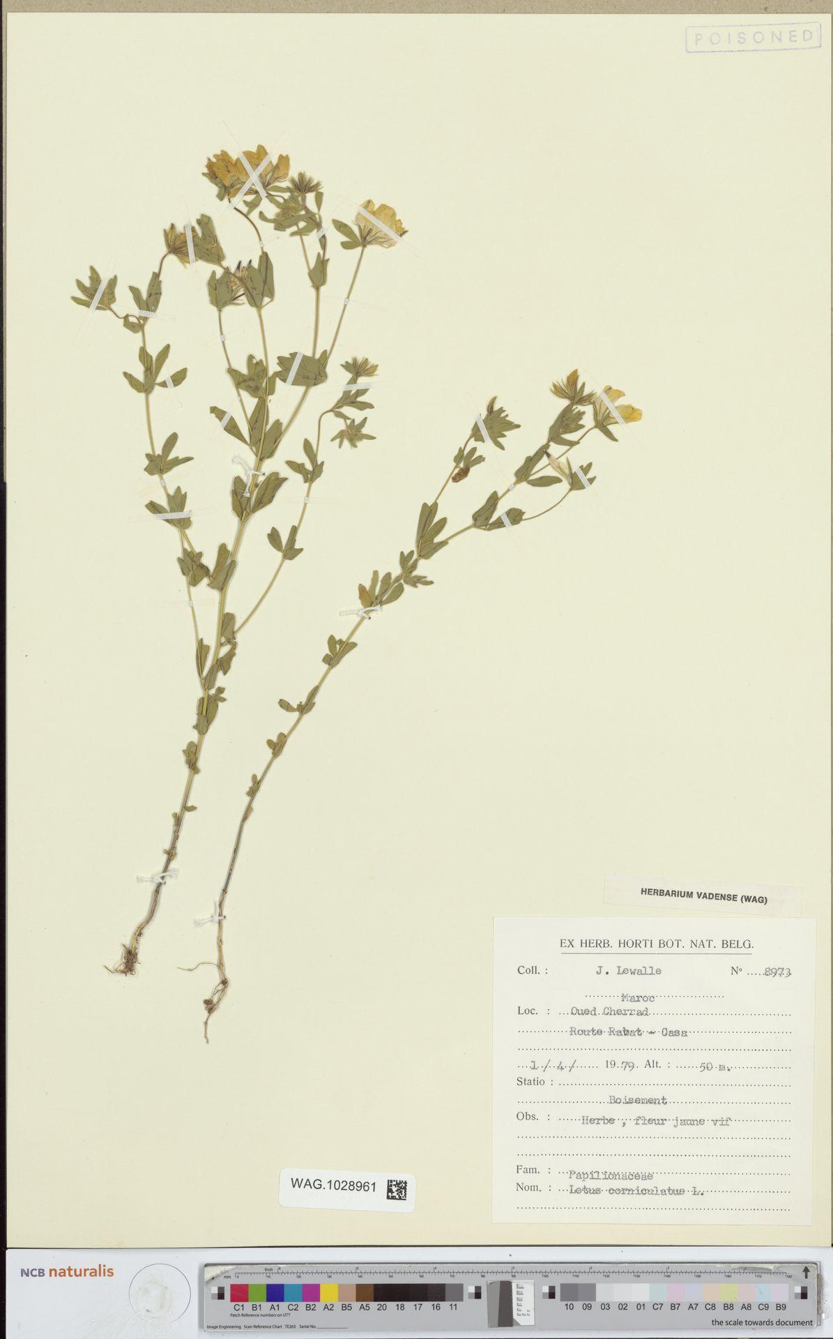 WAG.1028961 | Lotus corniculatus L.
