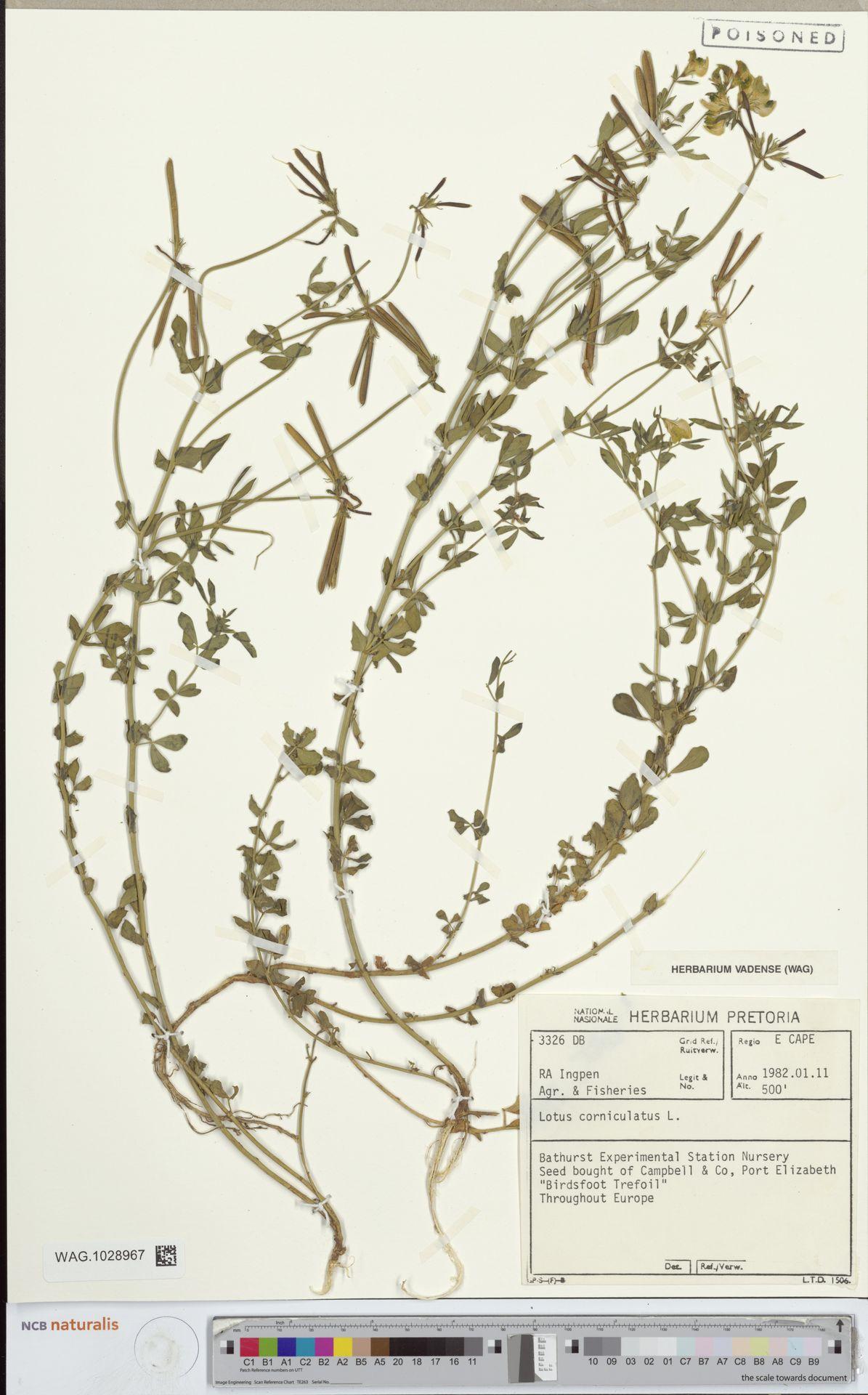 WAG.1028967 | Lotus corniculatus L.