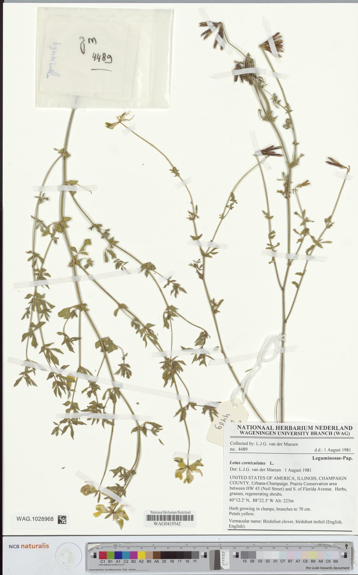 WAG.1028968 | Lotus corniculatus L.