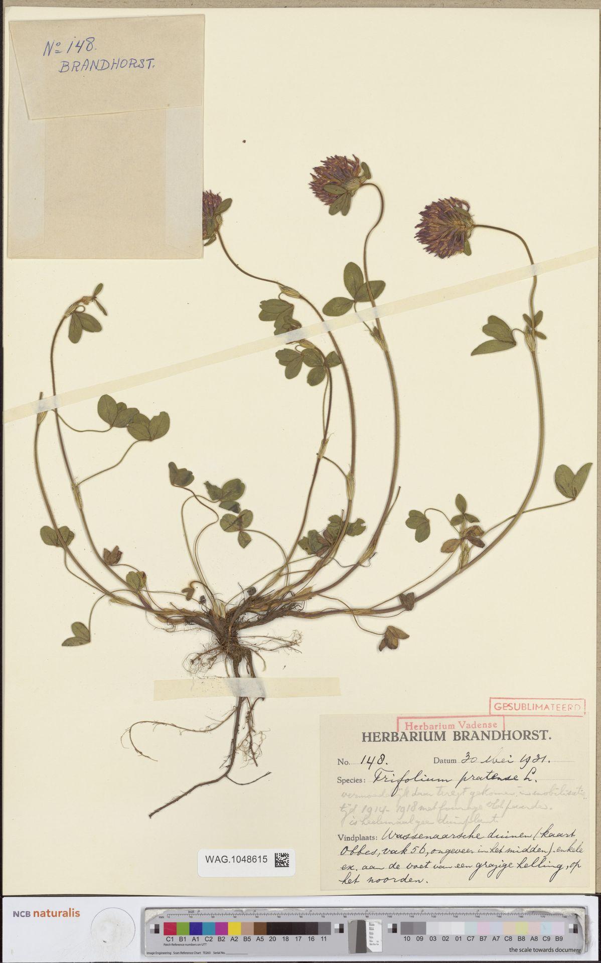 WAG.1048615 | Trifolium pratense L.