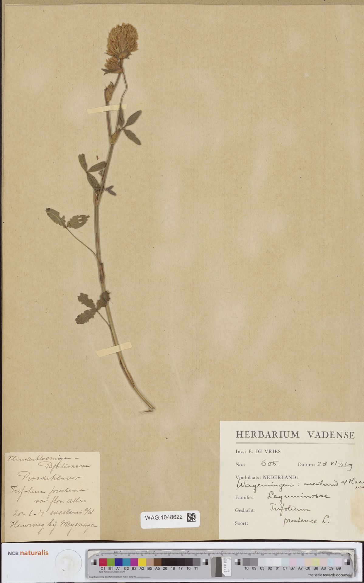 WAG.1048622   Trifolium pratense L.