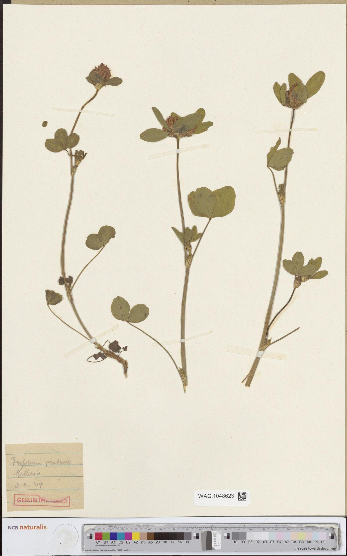 WAG.1048623   Trifolium pratense L.