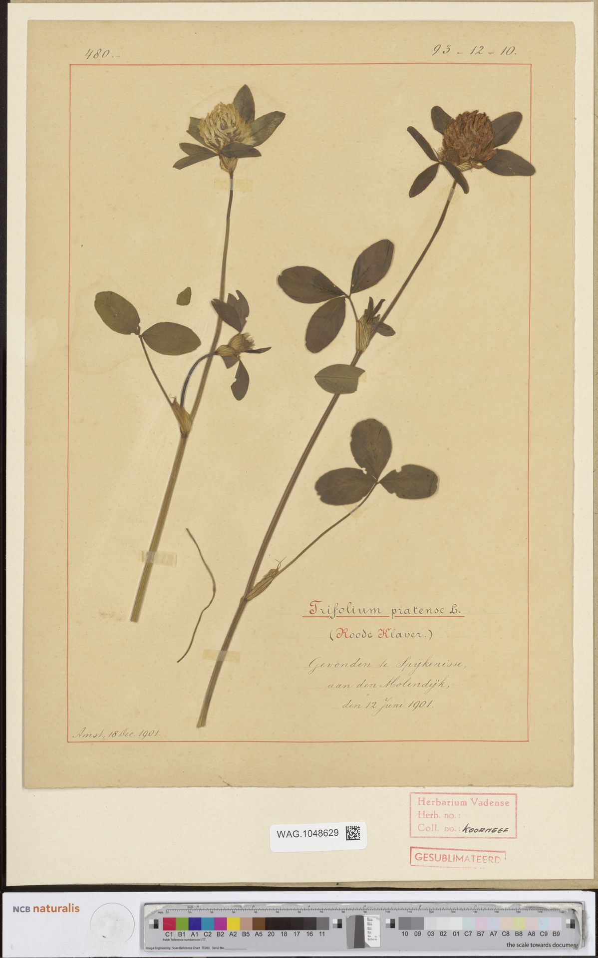 WAG.1048629 | Trifolium pratense L.