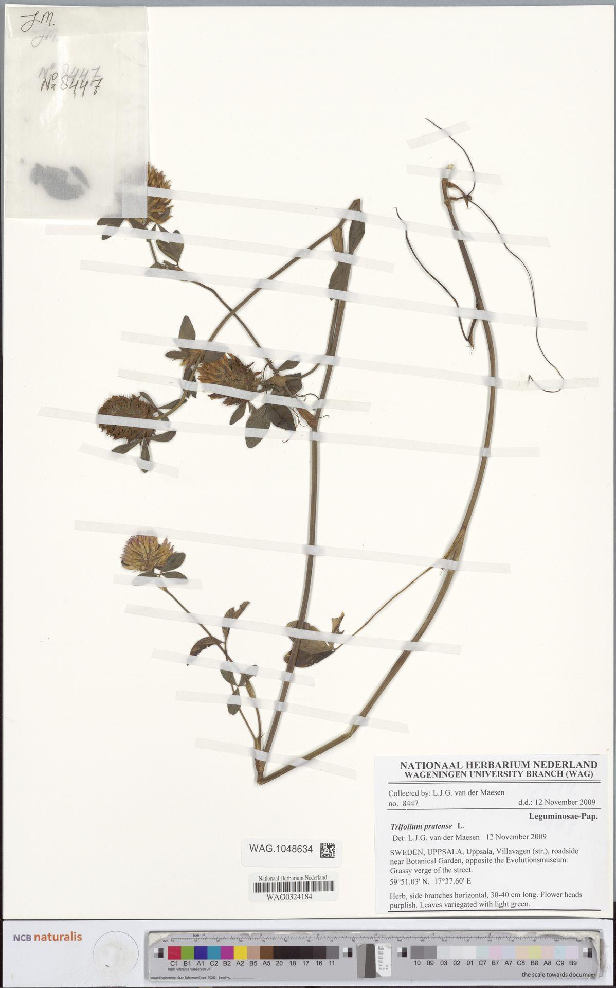 WAG.1048634 | Trifolium pratense L.