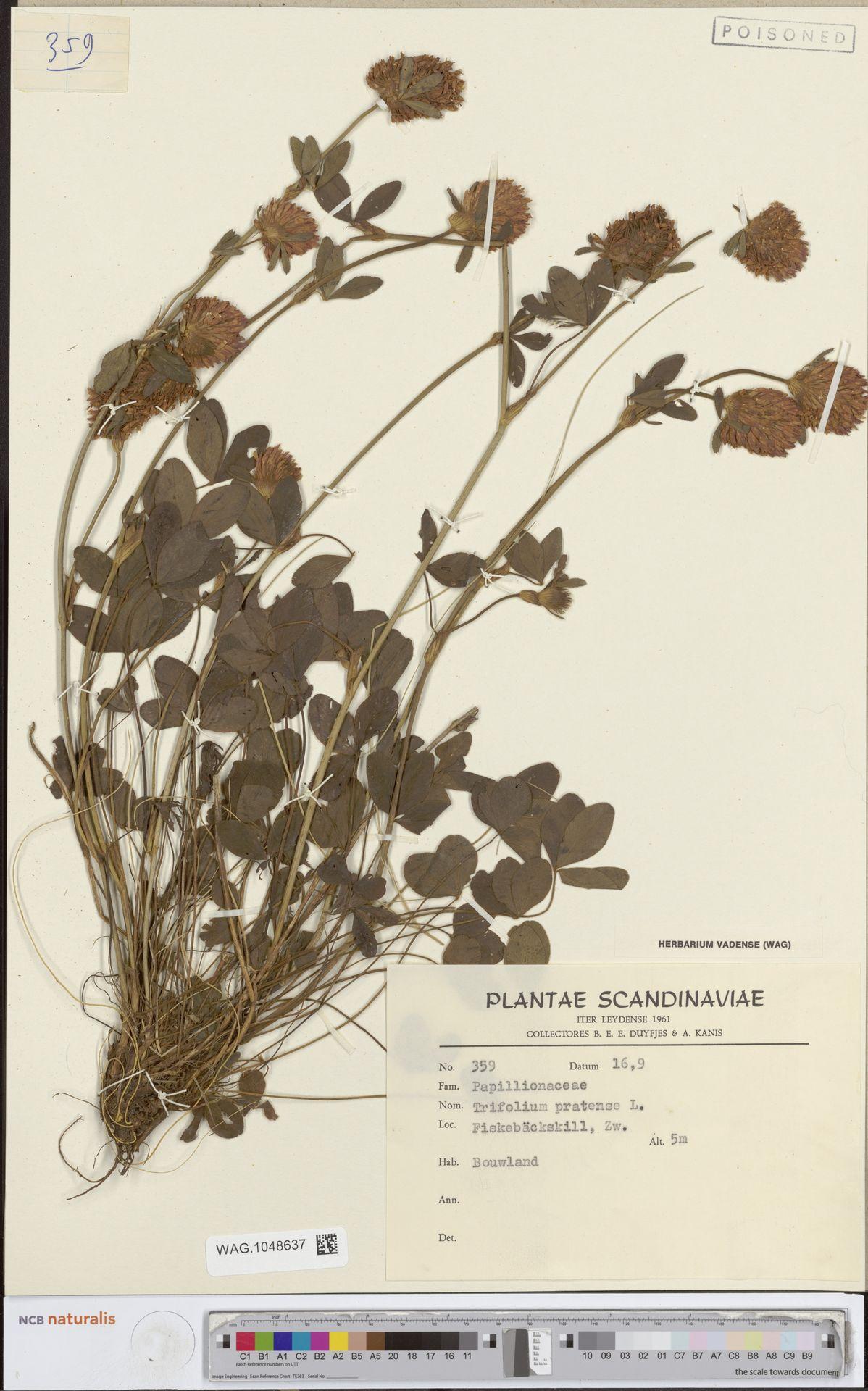 WAG.1048637 | Trifolium pratense L.
