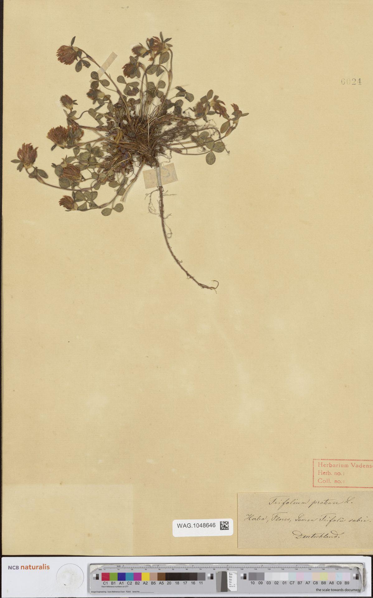 WAG.1048646 | Trifolium pratense L.