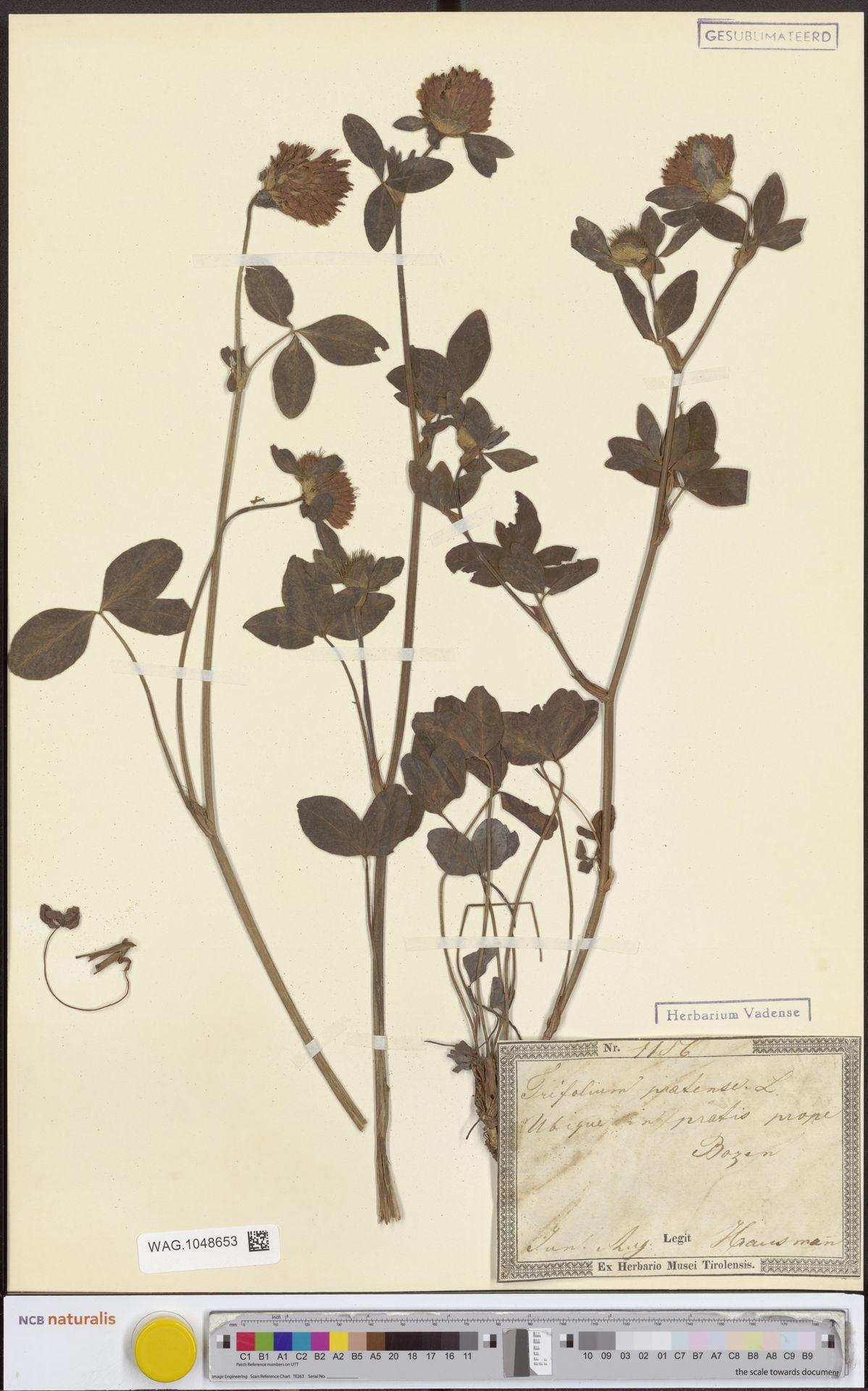 WAG.1048653 | Trifolium pratense L.