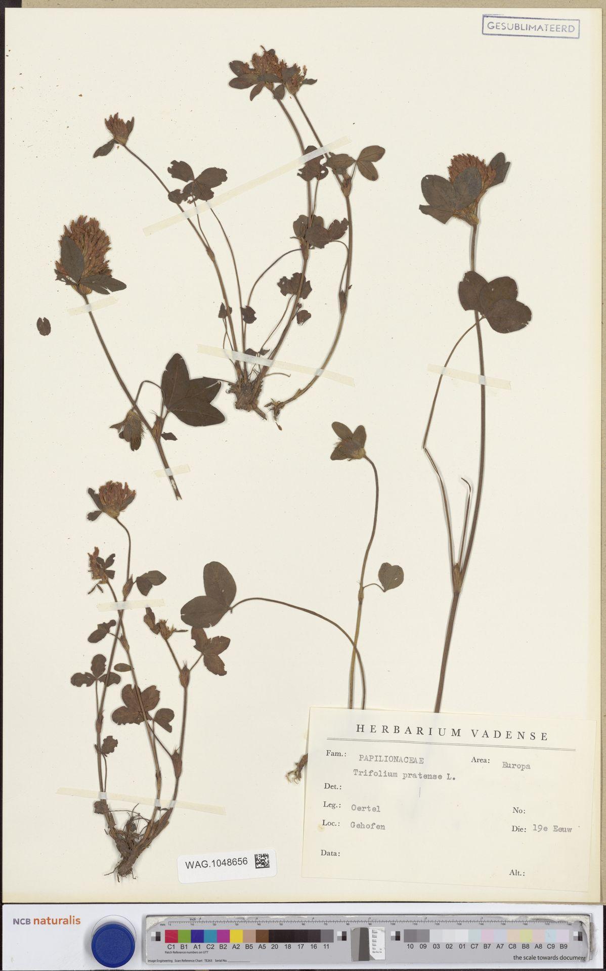 WAG.1048656 | Trifolium pratense L.