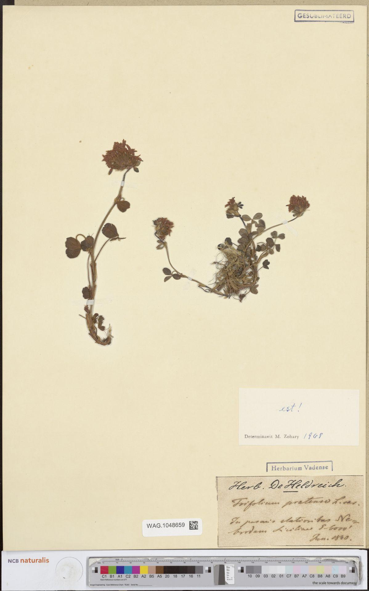 WAG.1048659 | Trifolium pratense L.