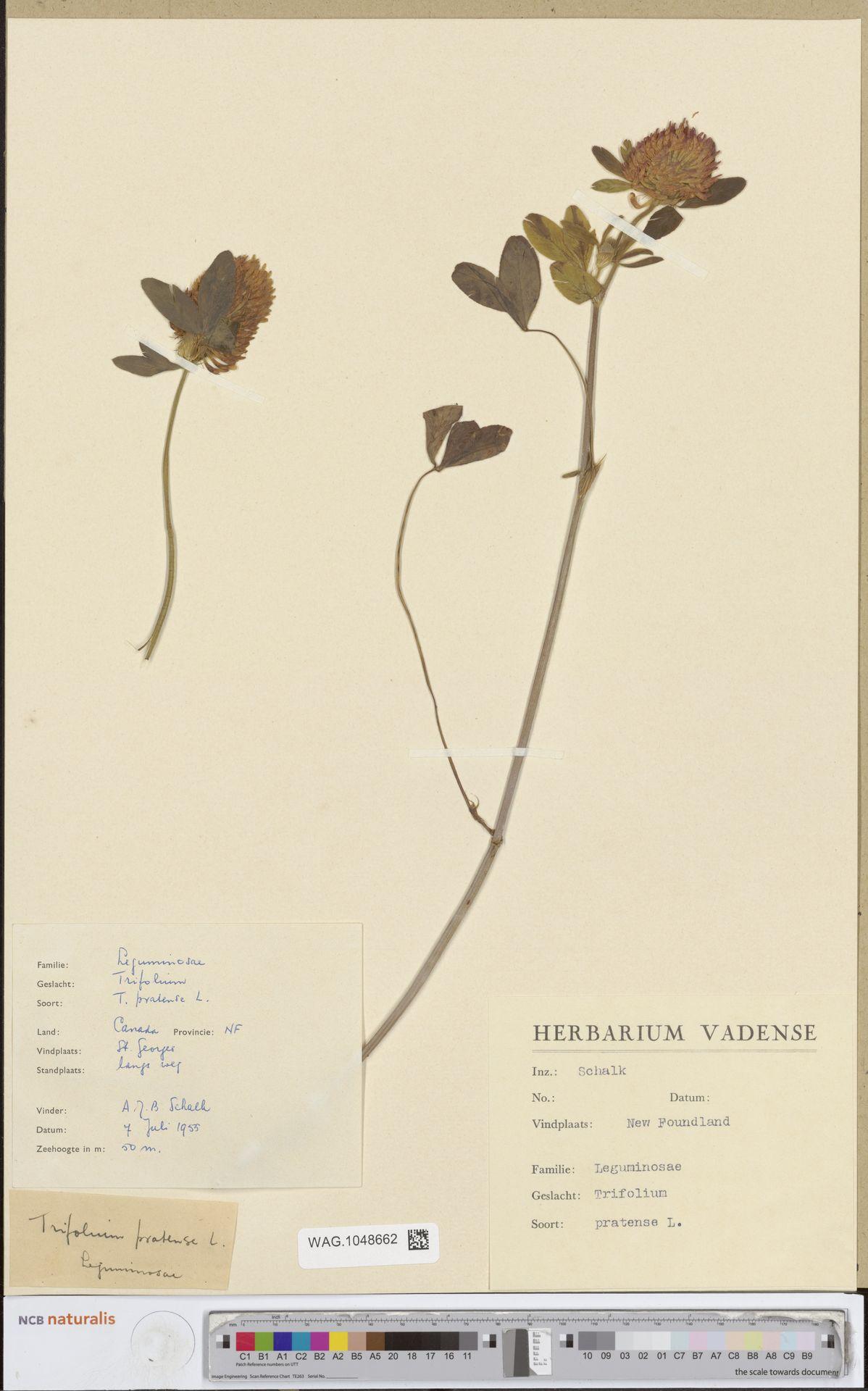 WAG.1048662 | Trifolium pratense L.