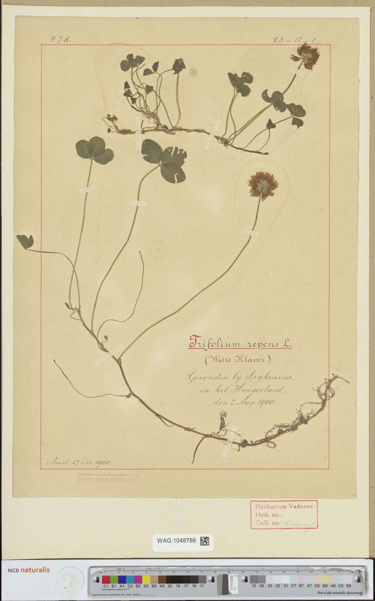 WAG.1048786 | Trifolium repens L.