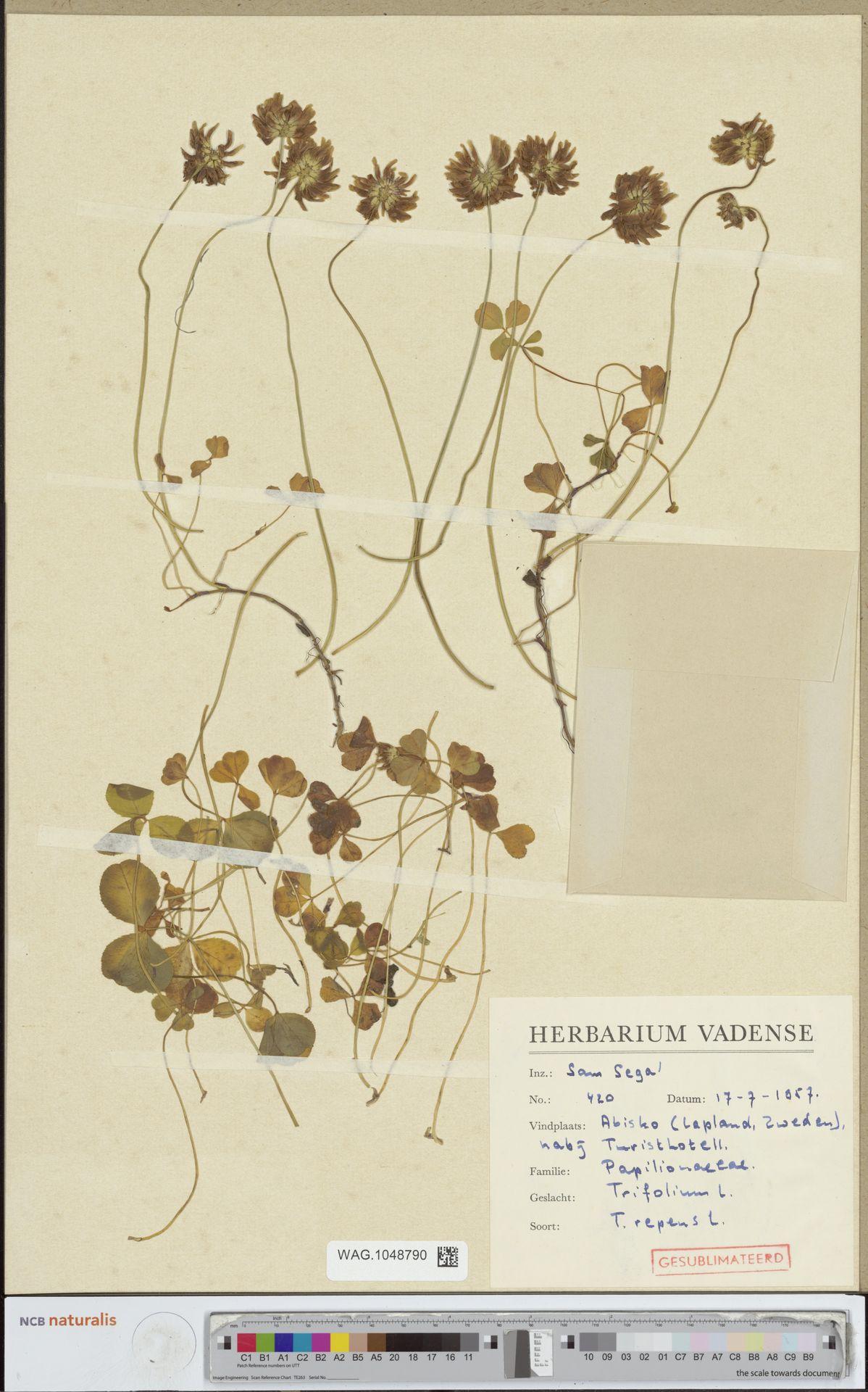 WAG.1048790 | Trifolium repens L.