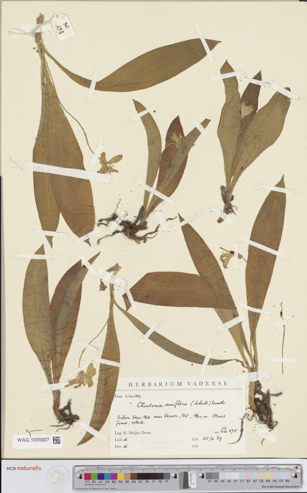 WAG.1055927 | Clintonia uniflora Kunth