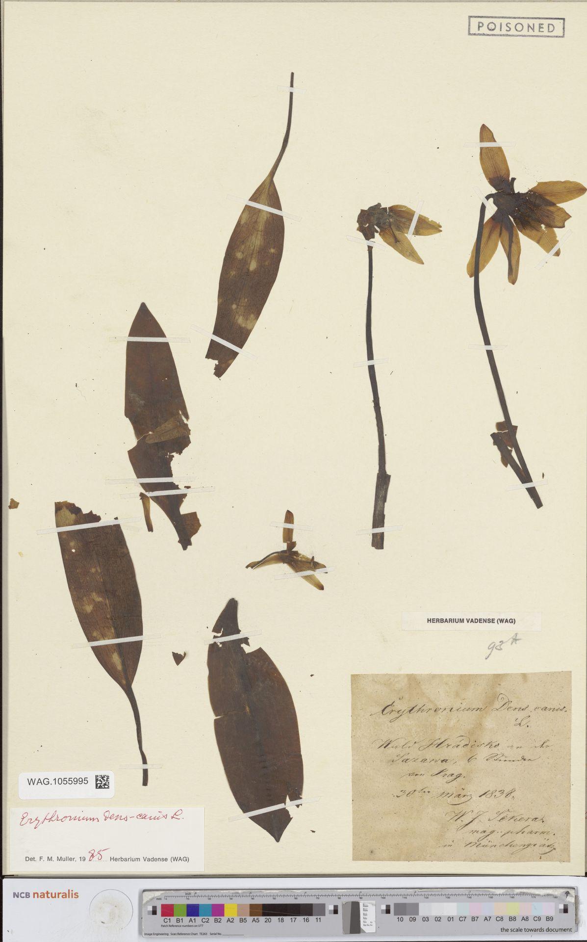 WAG.1055995 | Erythronium dens-canis L.