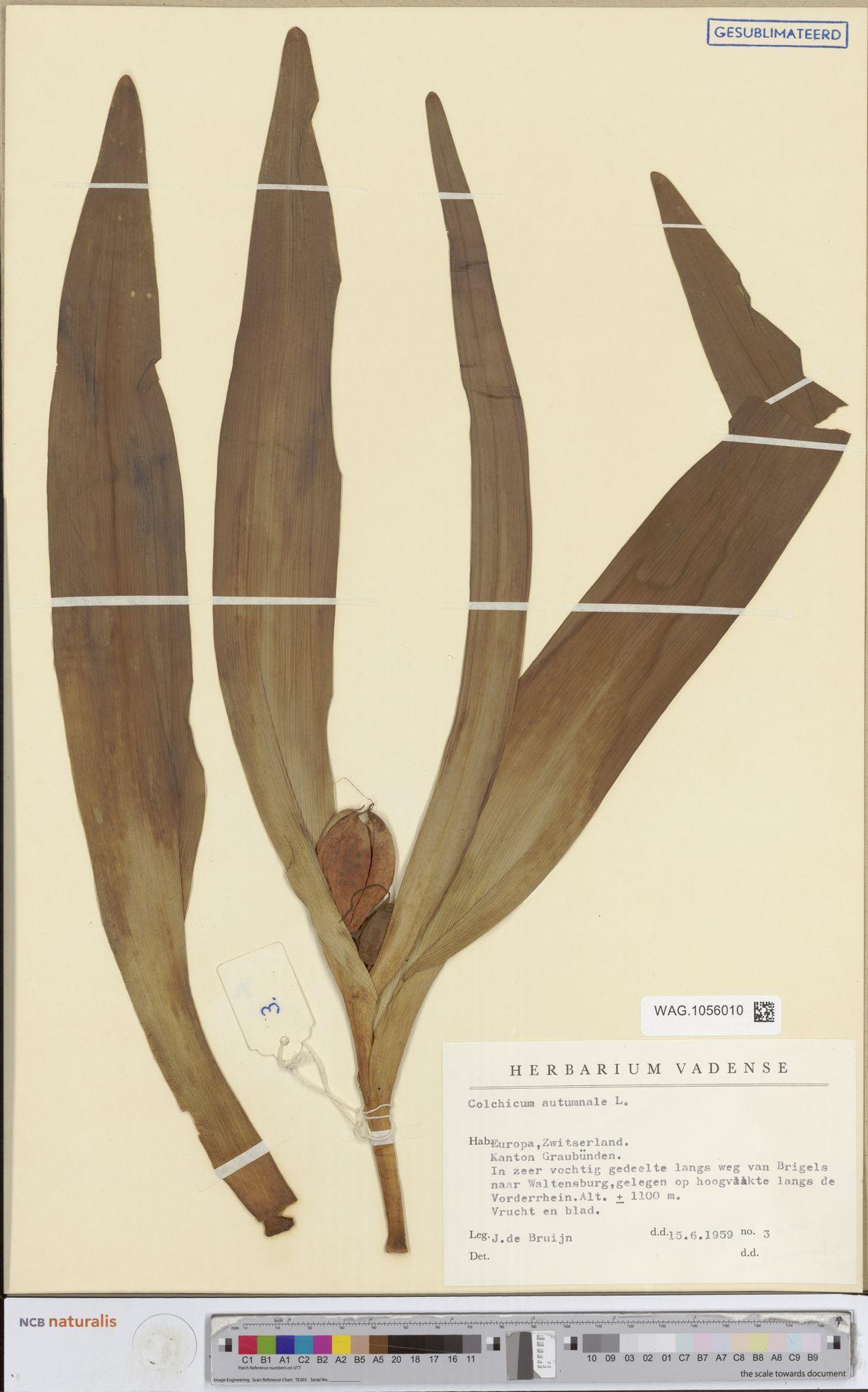 WAG.1056010 | Colchicum autumnale L.