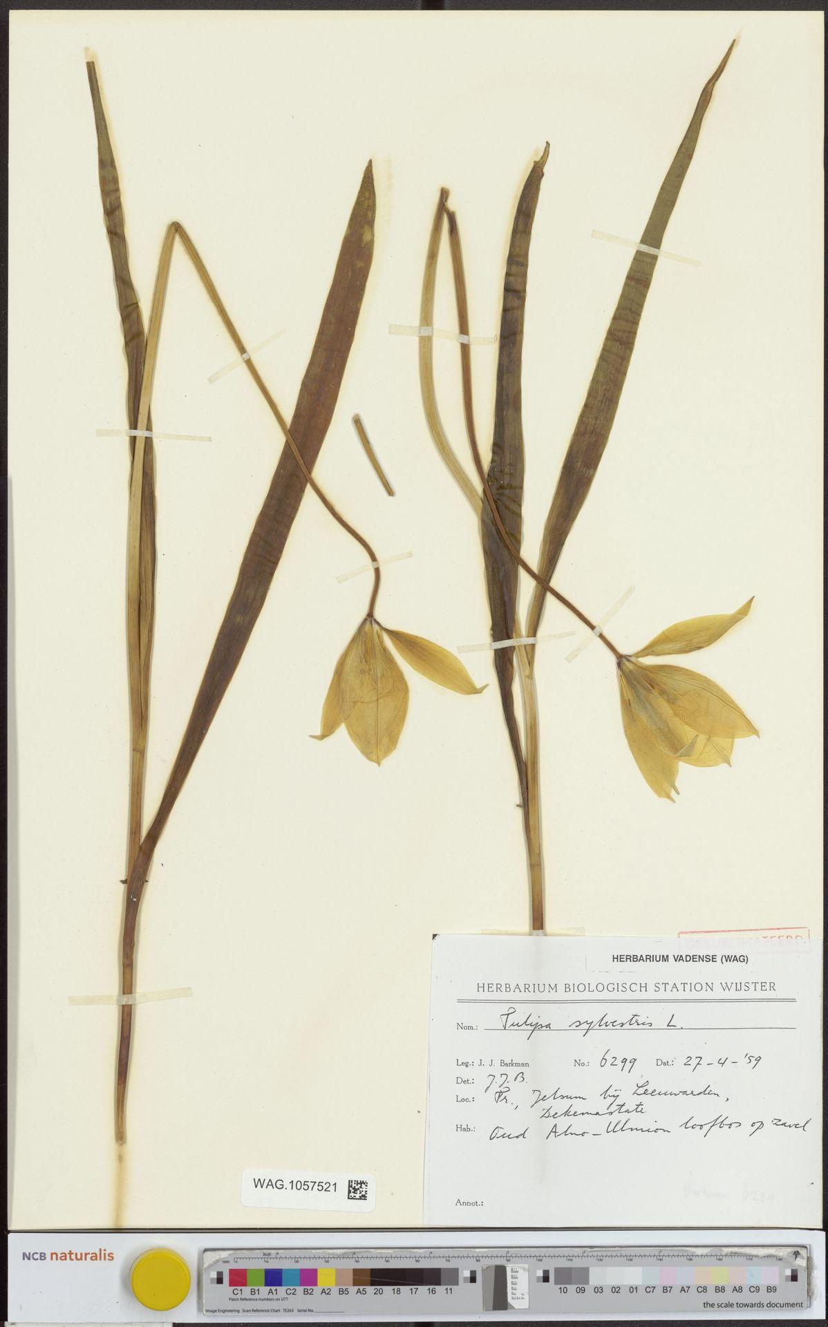 WAG.1057521 | Tulipa sylvestris L.