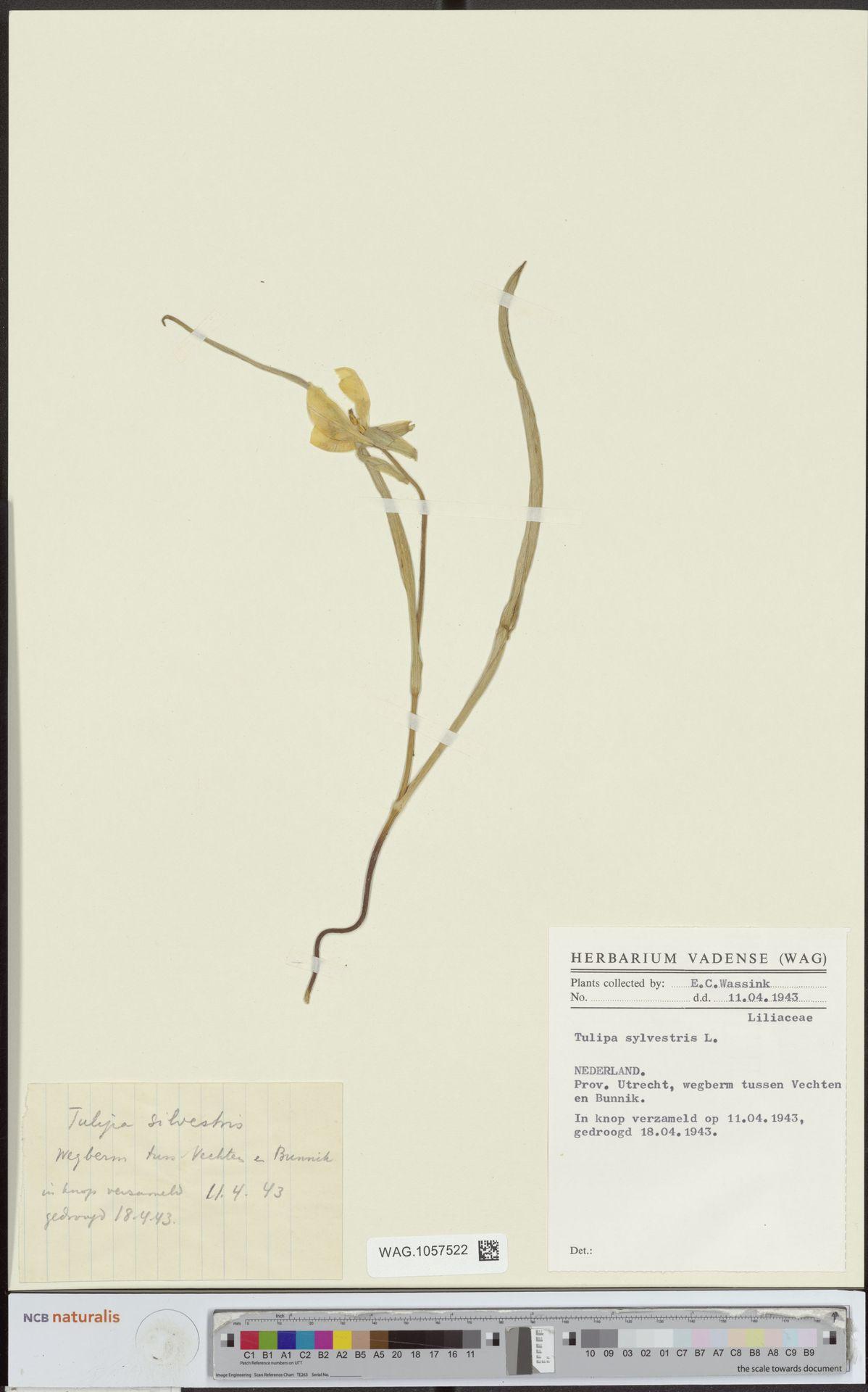 WAG.1057522 | Tulipa sylvestris L.