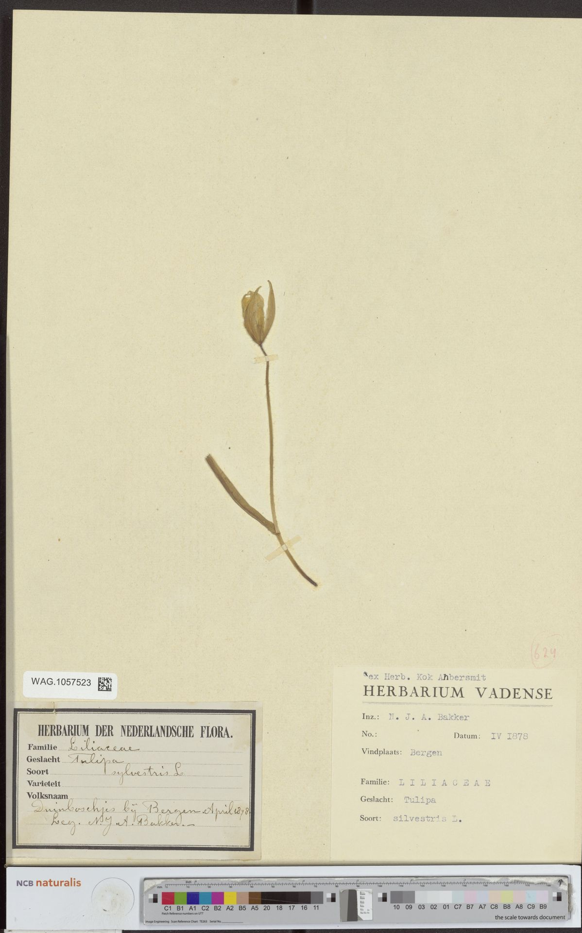 WAG.1057523 | Tulipa sylvestris L.