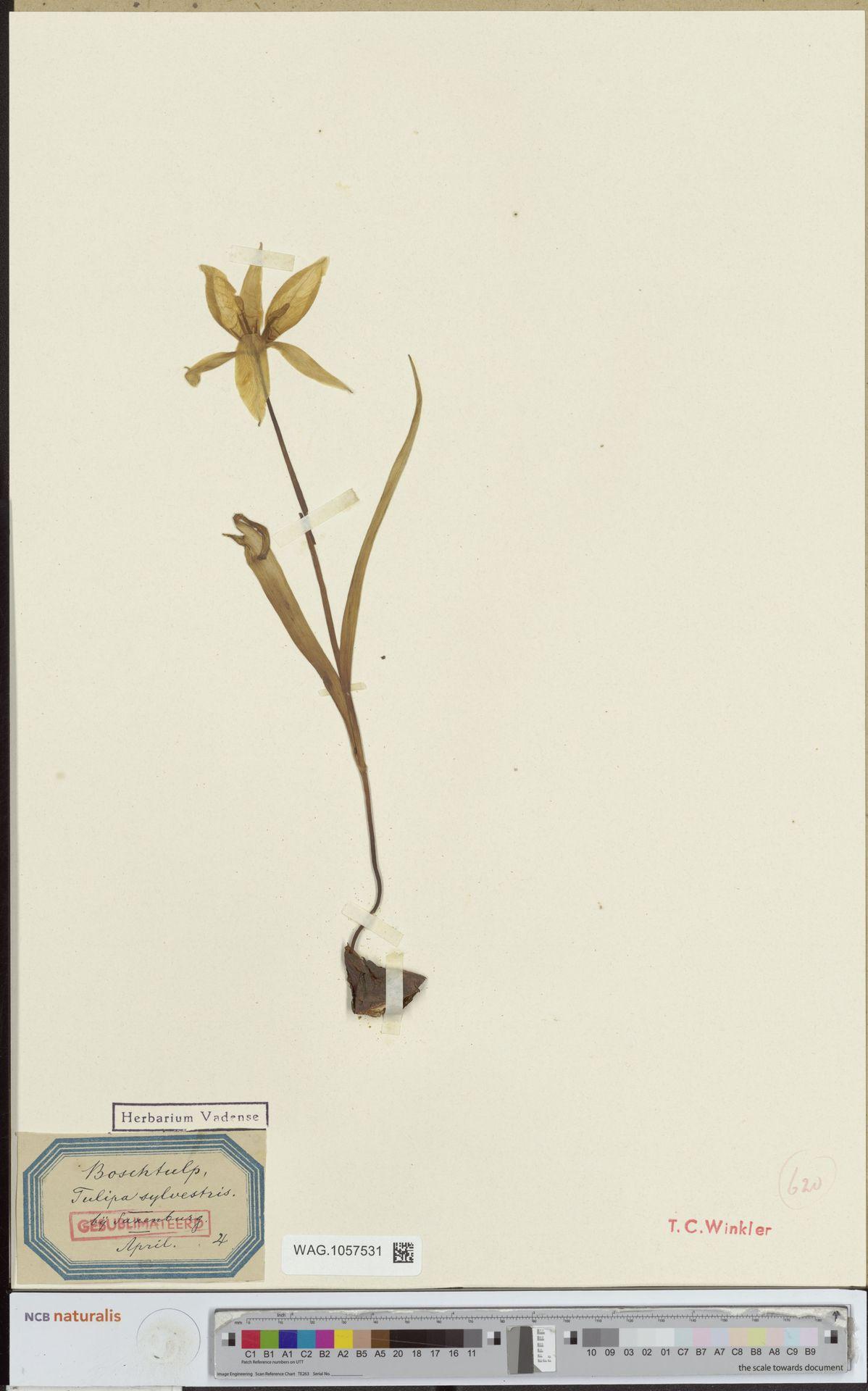 WAG.1057531 | Tulipa sylvestris L.