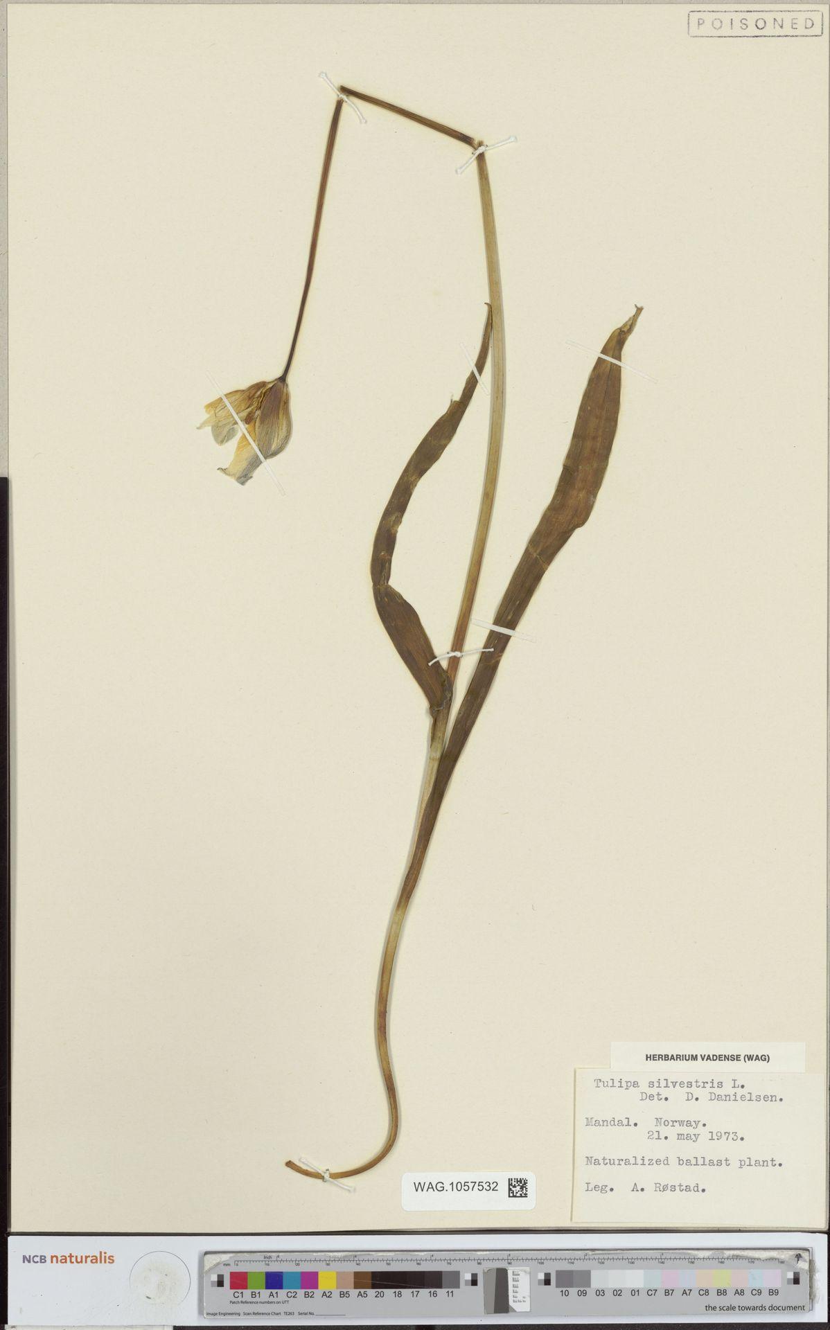 WAG.1057532 | Tulipa sylvestris L.