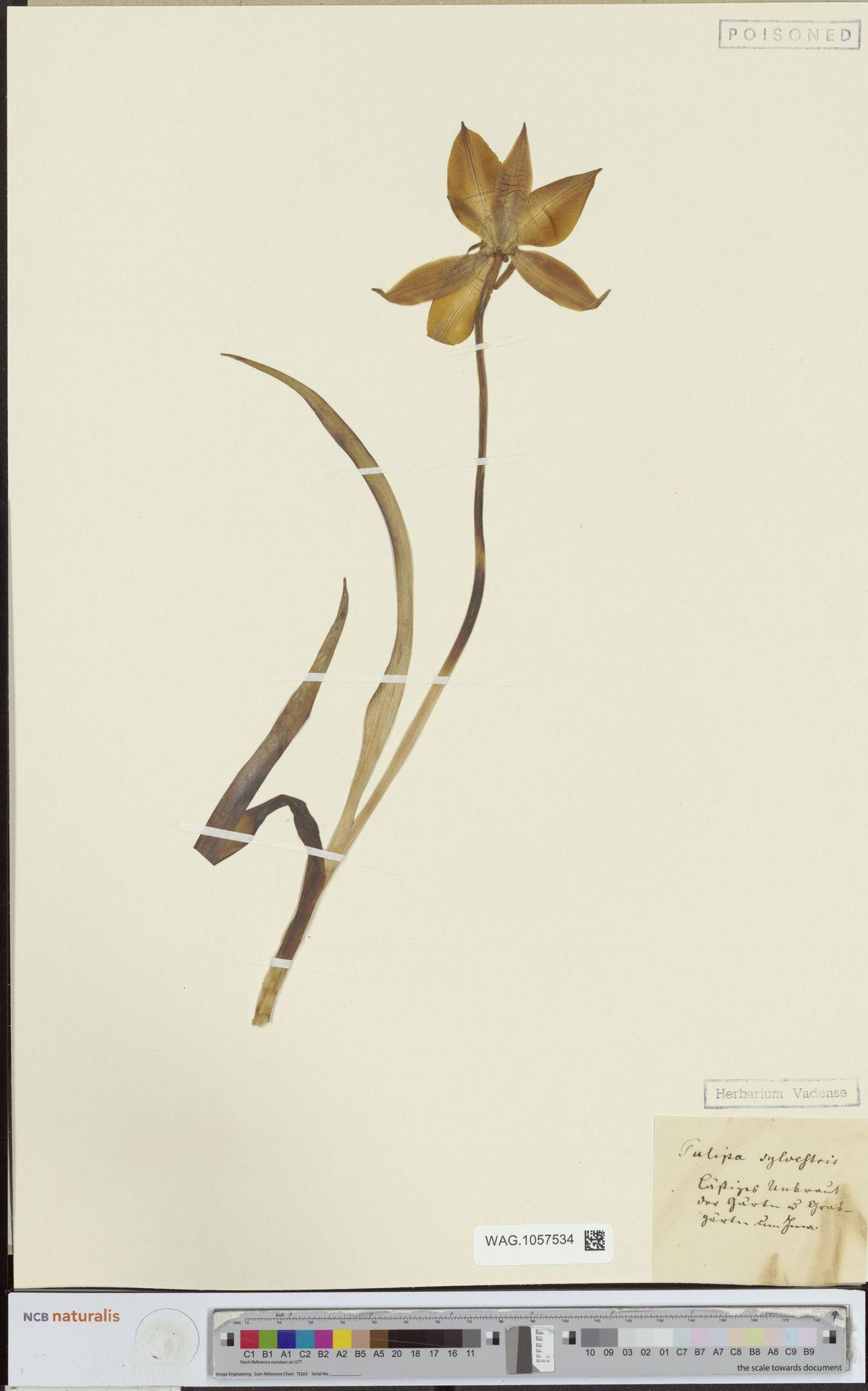 WAG.1057534 | Tulipa sylvestris L.