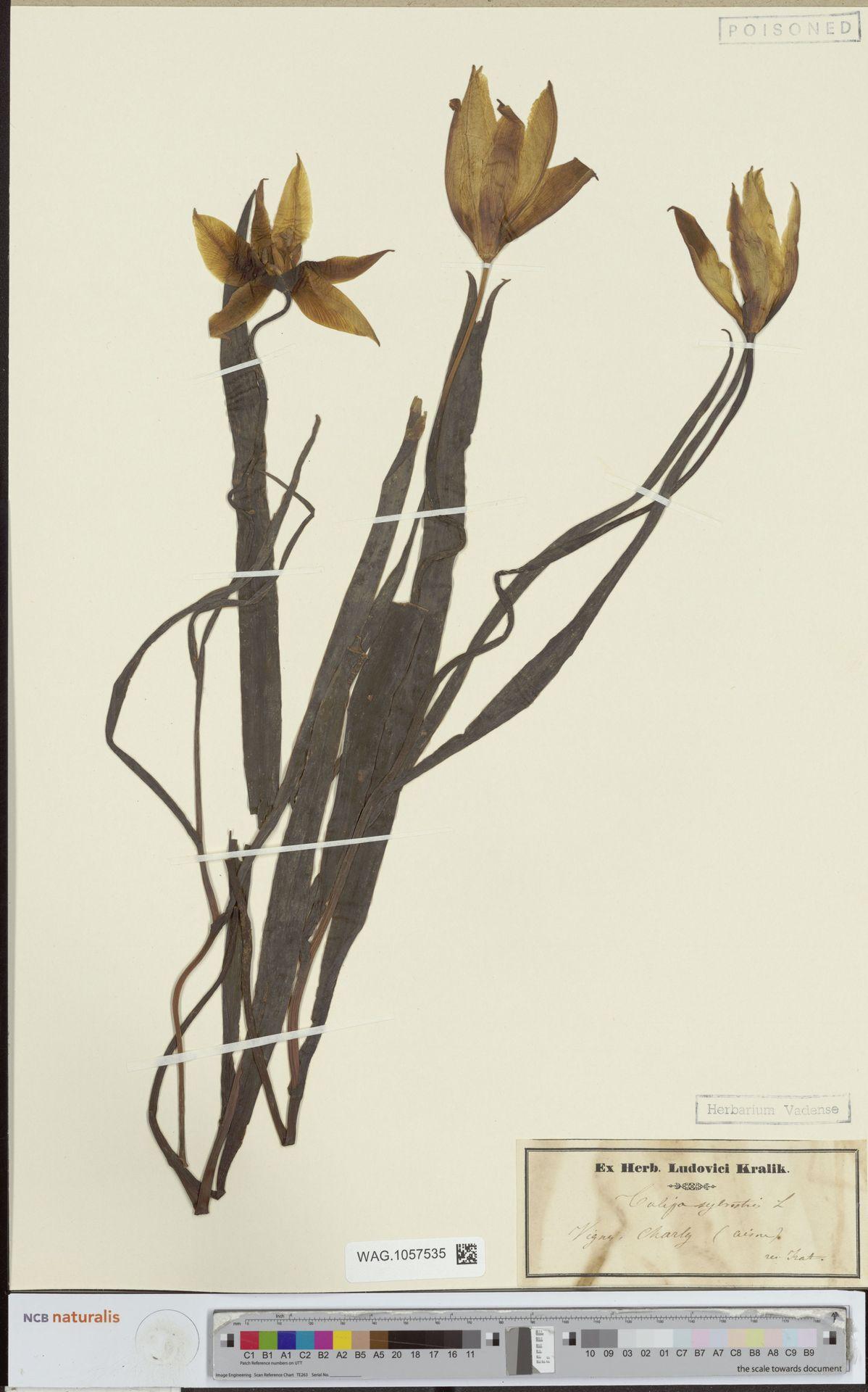 WAG.1057535 | Tulipa sylvestris L.