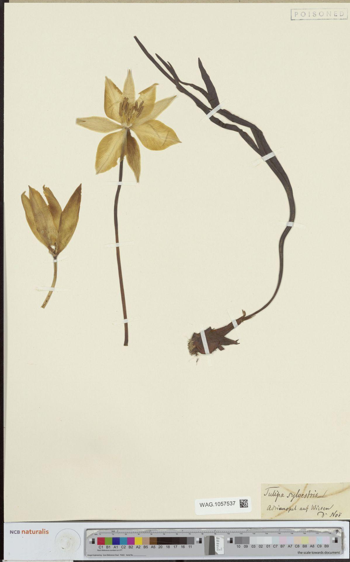 WAG.1057537 | Tulipa sylvestris L.