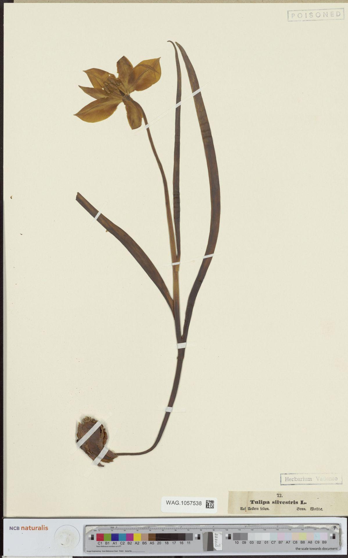 WAG.1057538 | Tulipa sylvestris L.