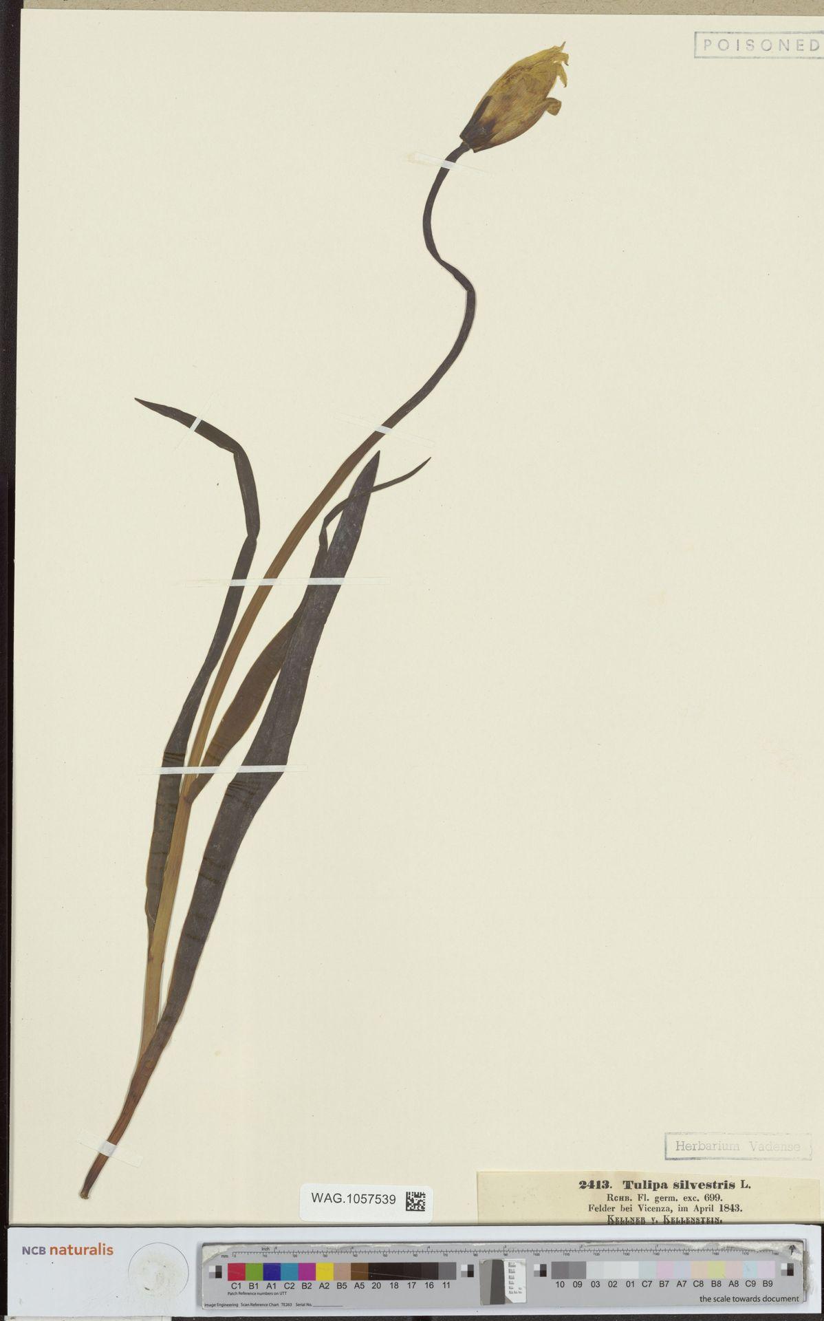 WAG.1057539   Tulipa sylvestris L.