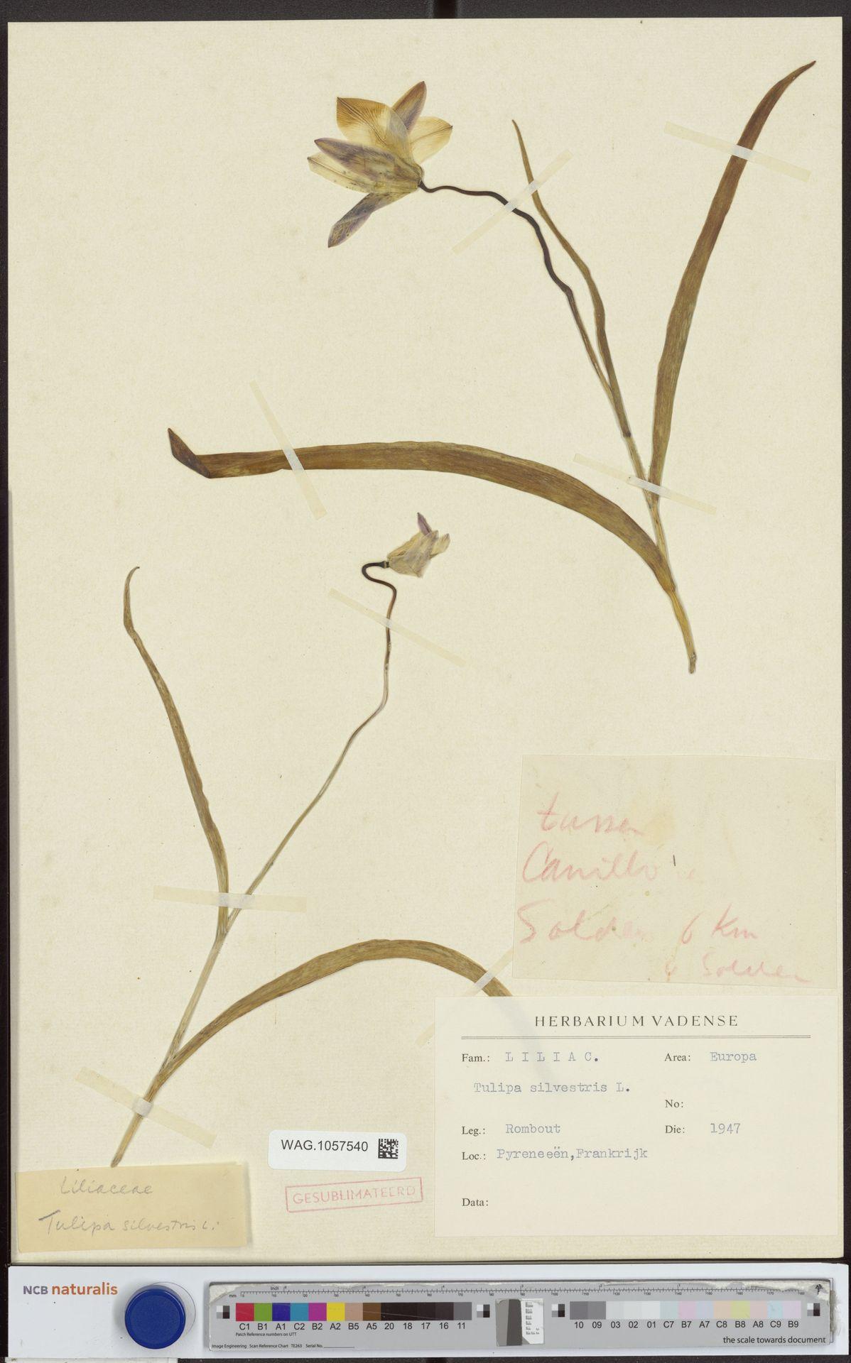 WAG.1057540   Tulipa sylvestris L.