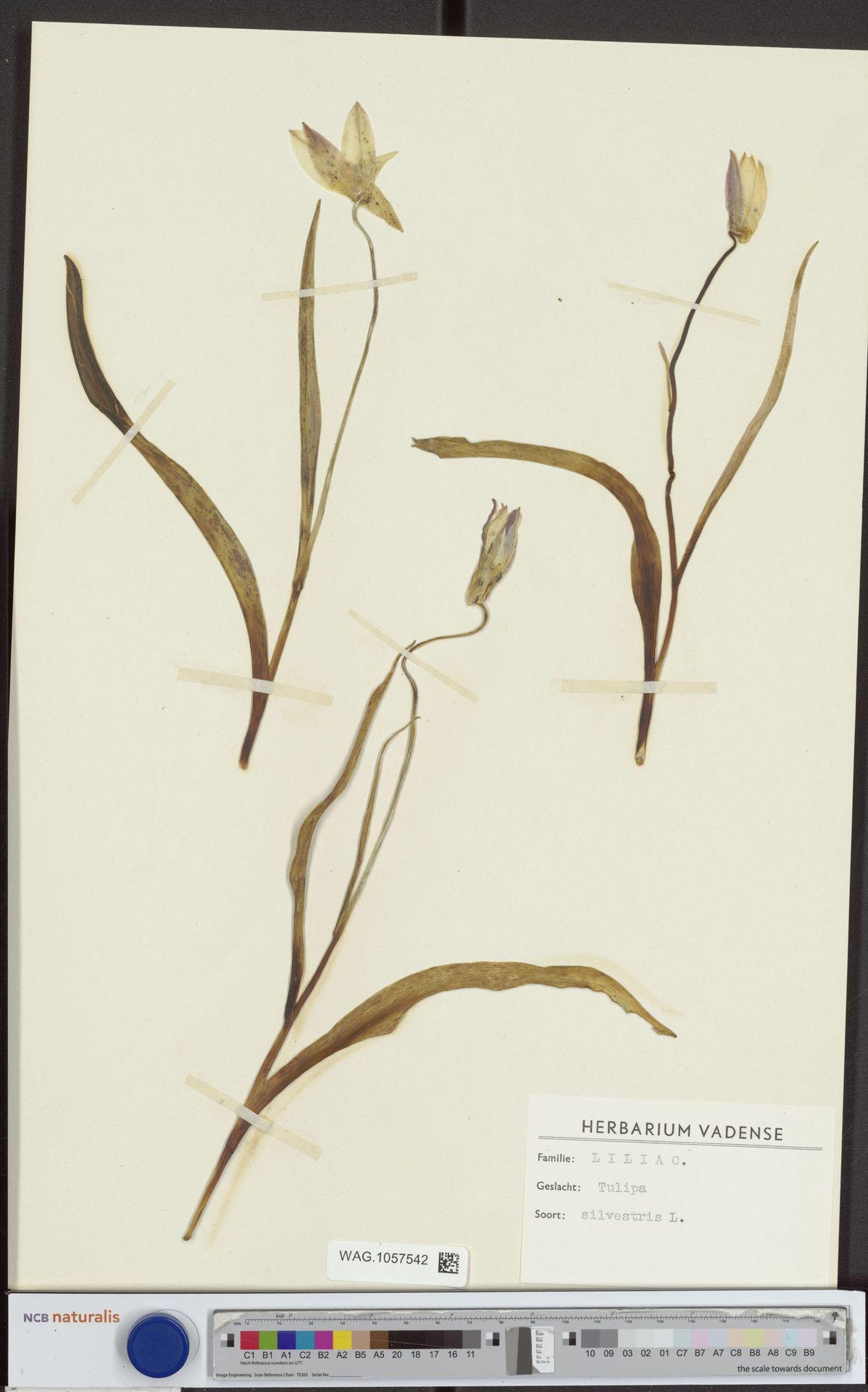 WAG.1057542   Tulipa sylvestris L.