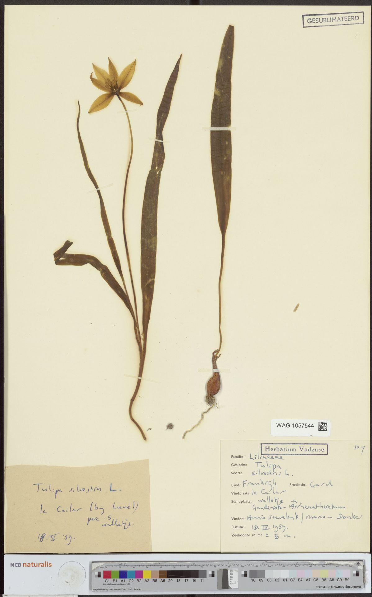 WAG.1057544 | Tulipa sylvestris L.